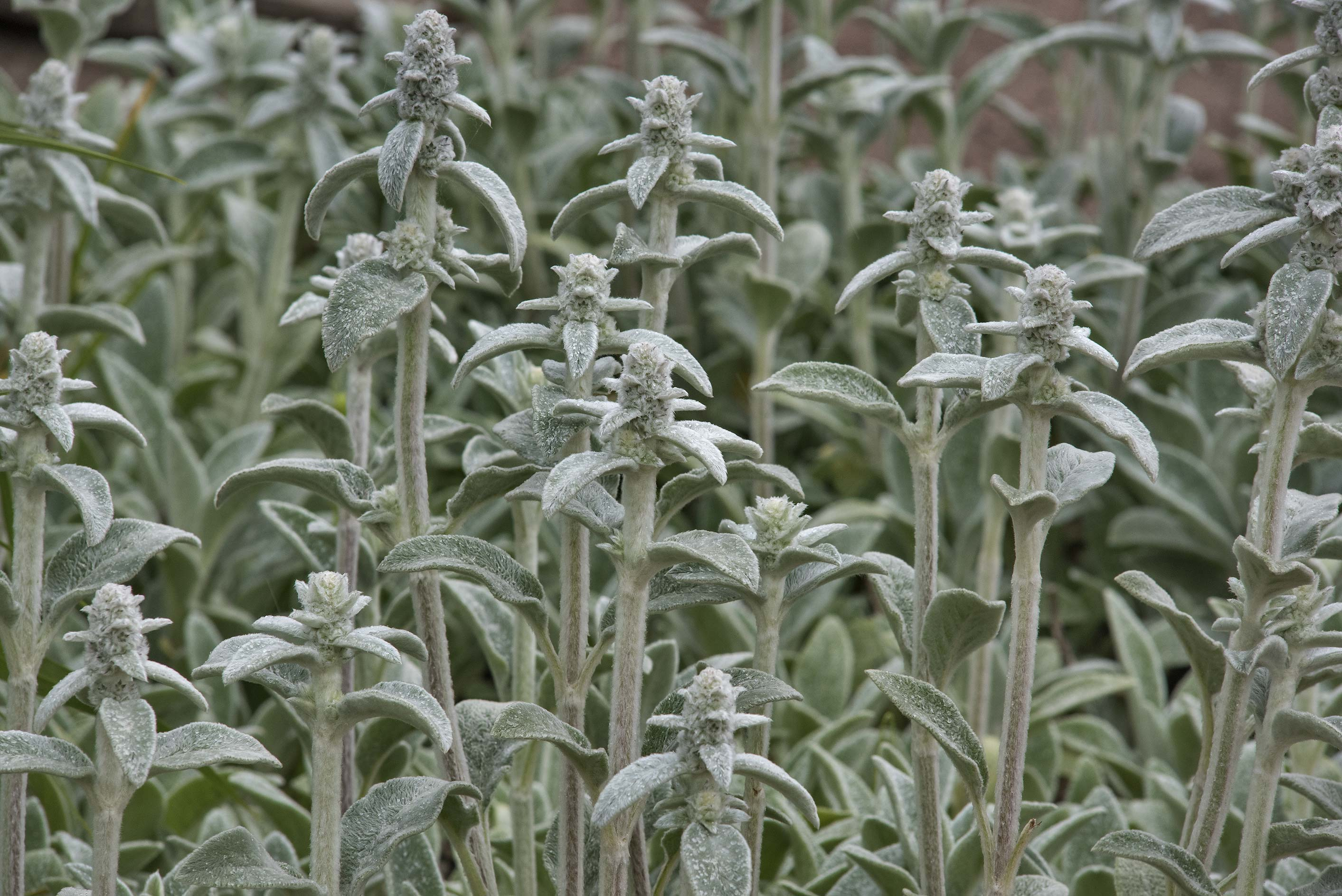 Velvety leaves of Lamb's-ear (Stachys byzantina...Institute. St.Petersburg, Russia