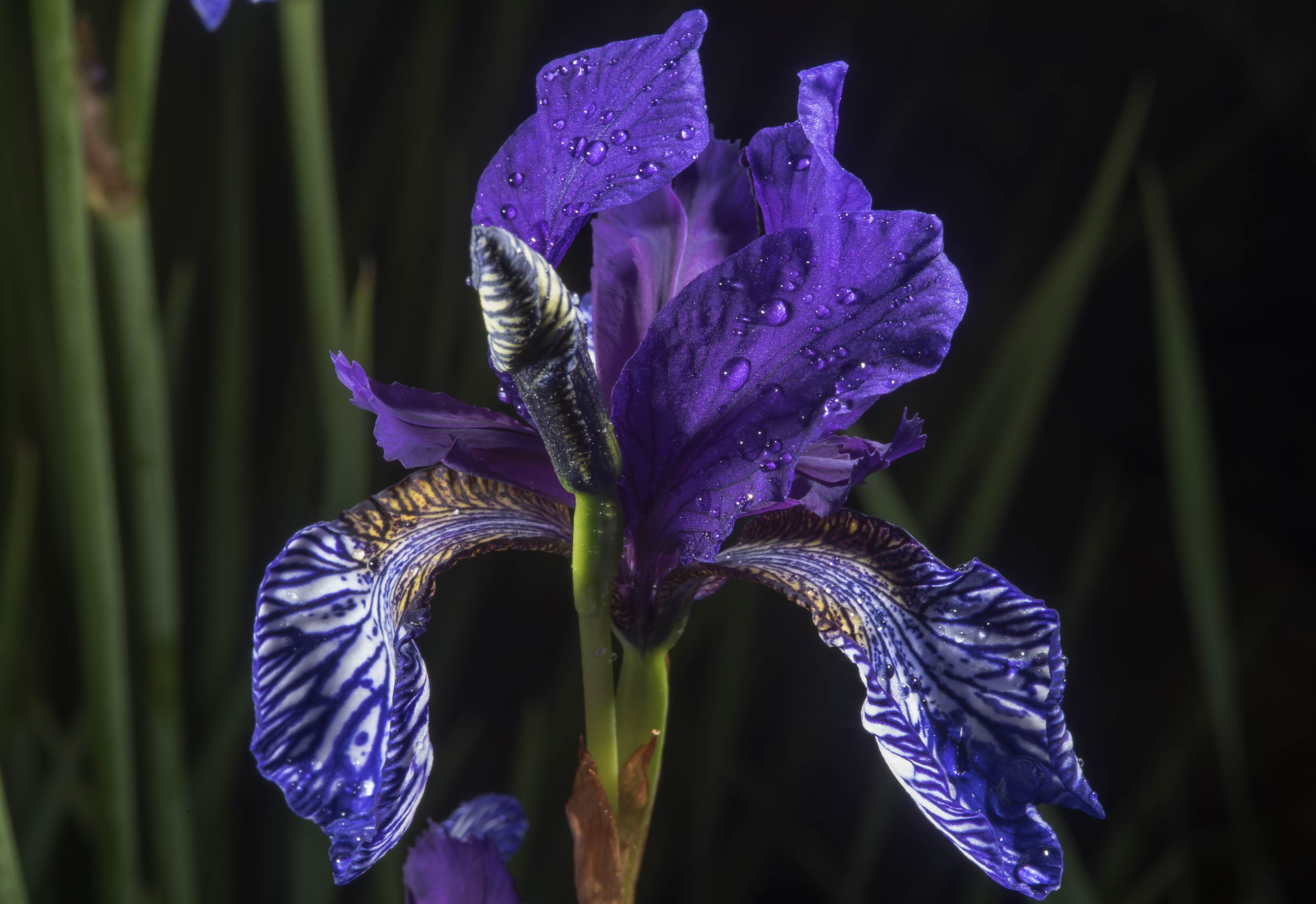 Iris flower in Botanic Gardens of Komarov Botanical Institute. St.Petersburg, Russia