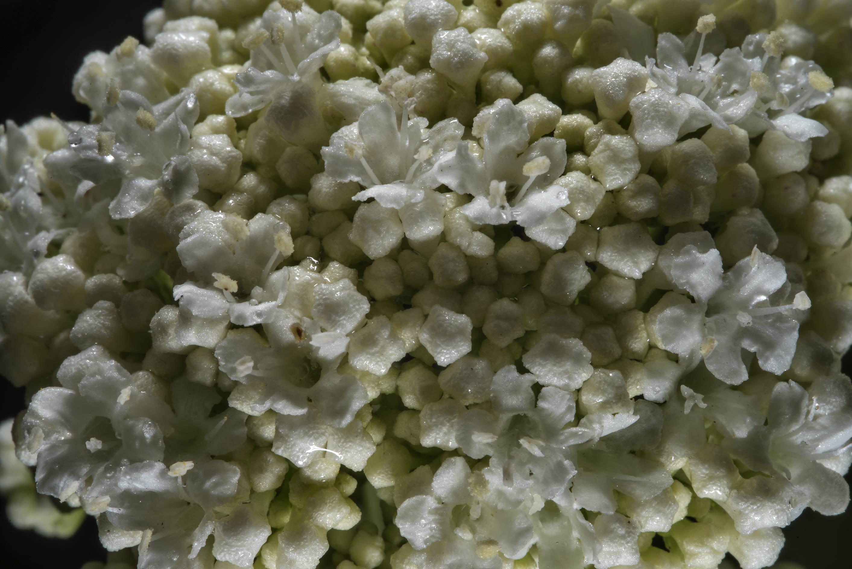Photo 2071 29 White Flowers Of Wayfaring Tree Viburnum Lantana