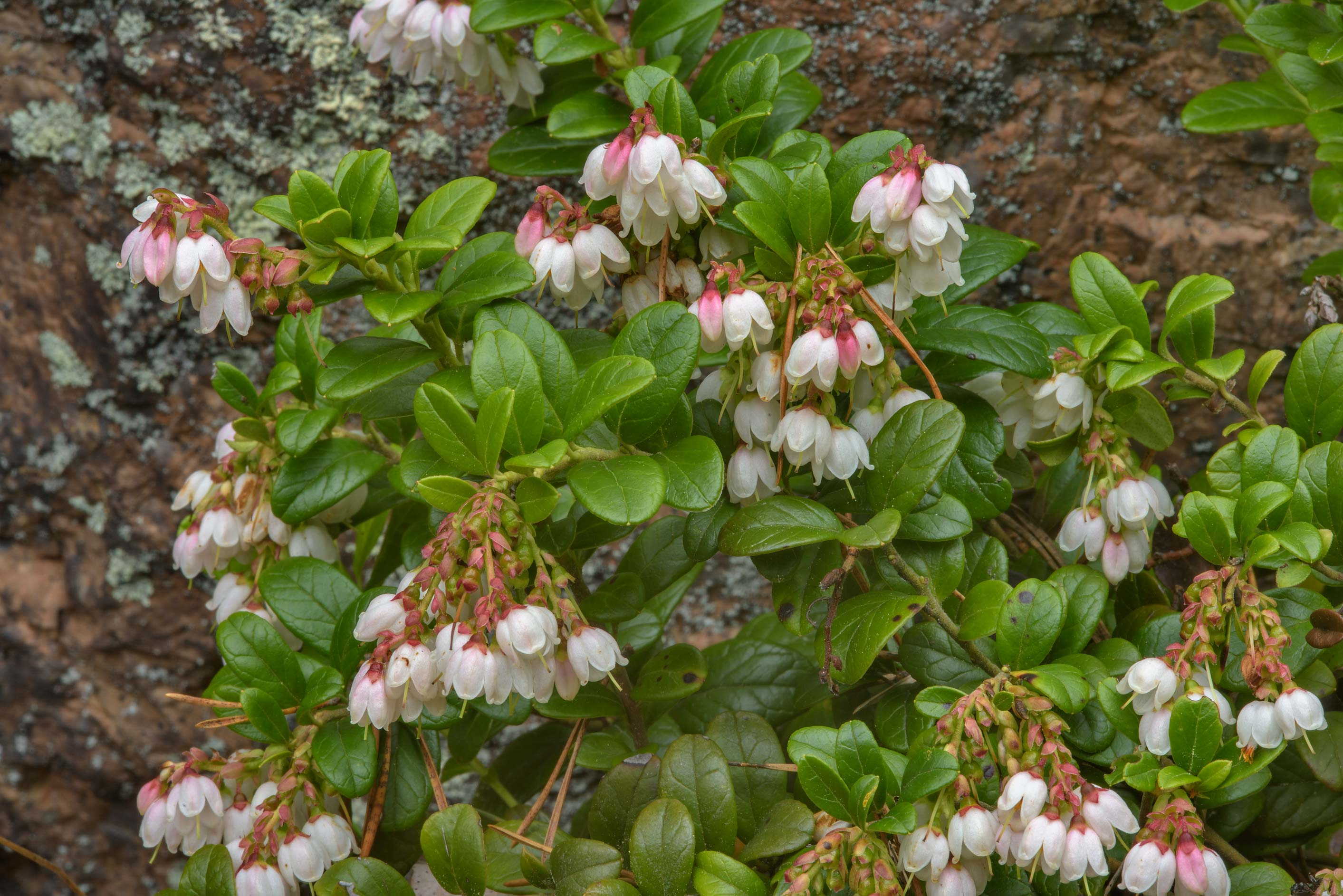 Blooming cowberry (lingonberry, Vaccinium vitis...Mon Repos) Park. Vyborg, Russia