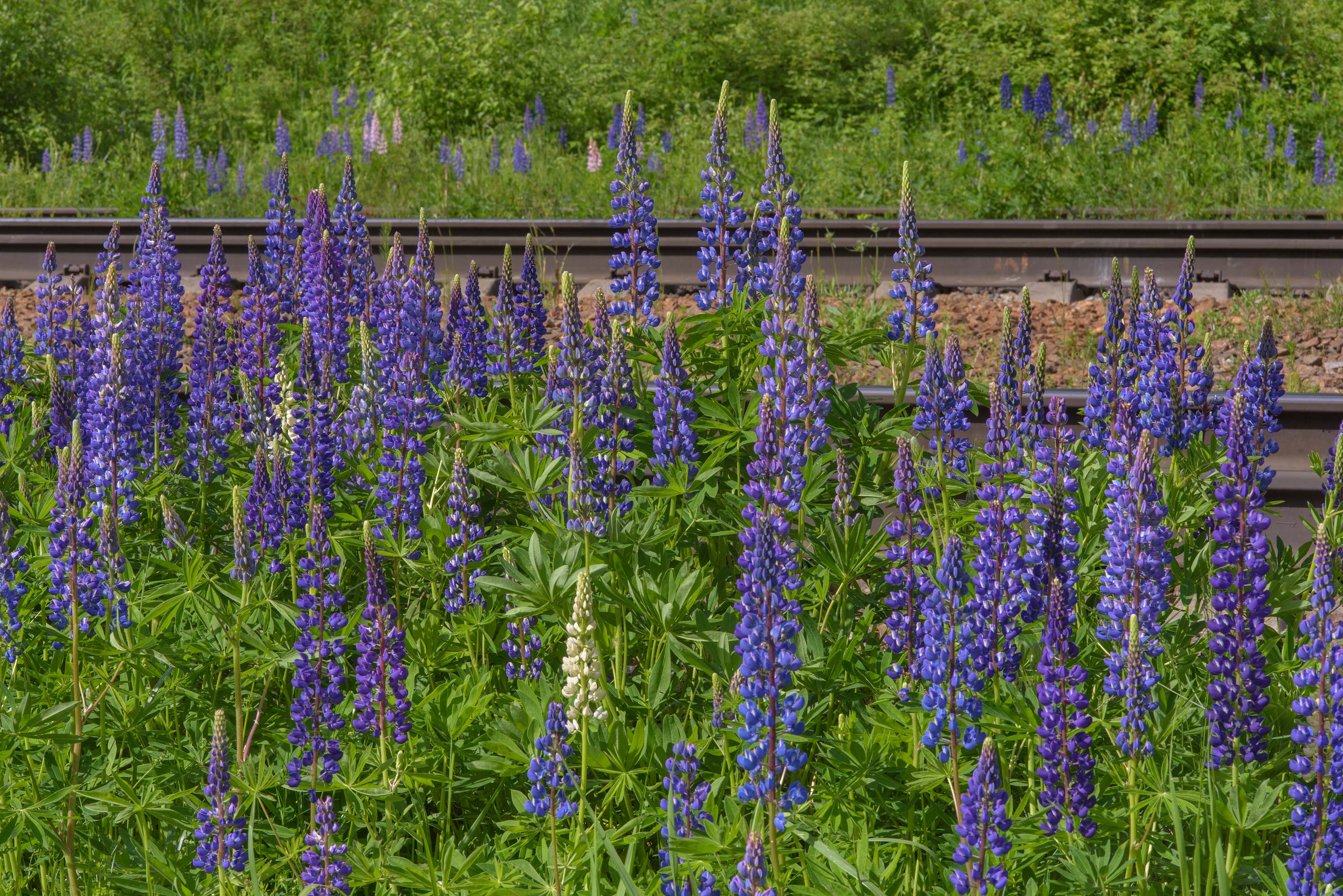 Blue lupin (Lupinus) near railroad near Orekhovo, north from St.Petersburg. Russia