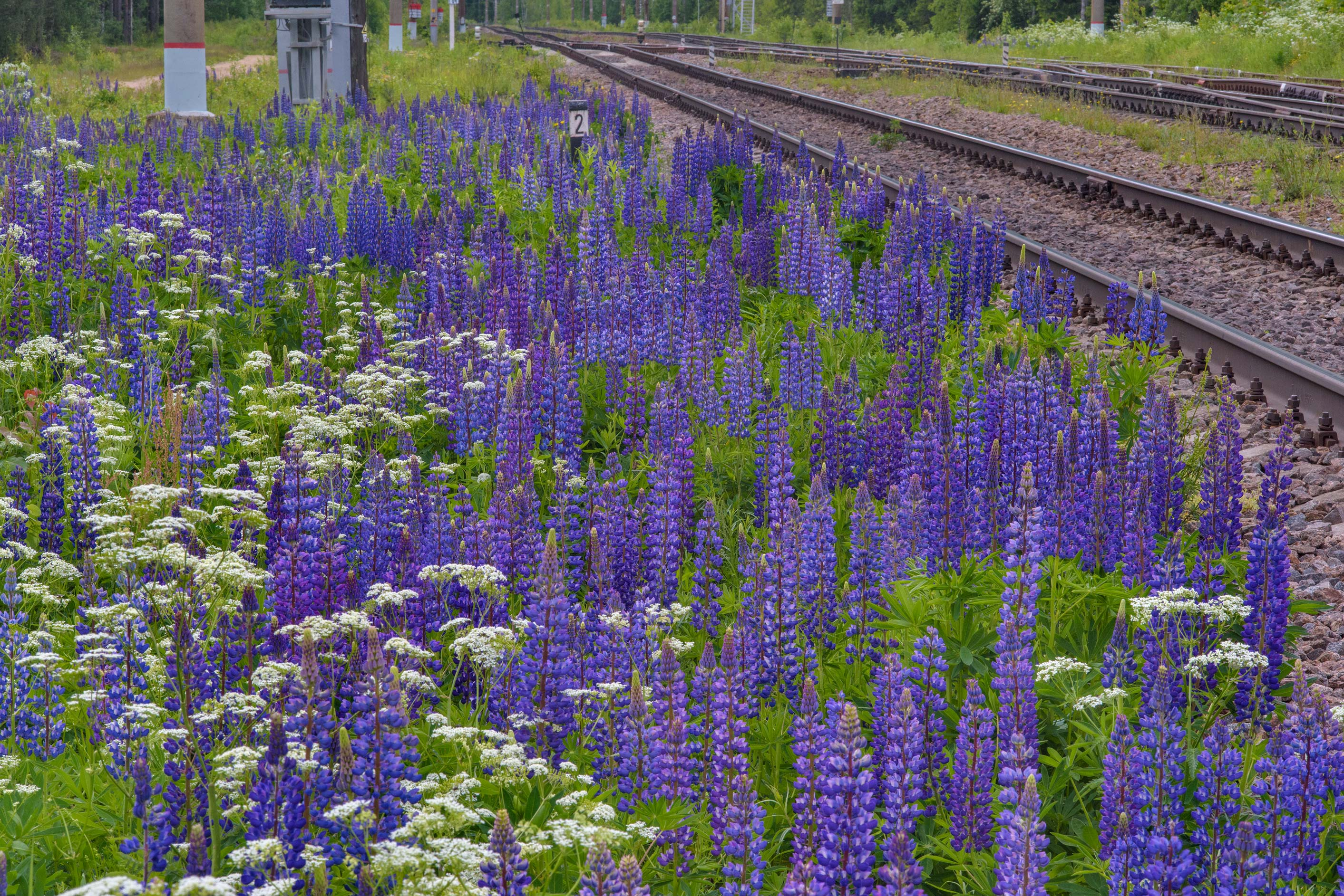 Blooming lupin (Lupinus) near railroad near Orekhovo, north from St.Petersburg. Russia
