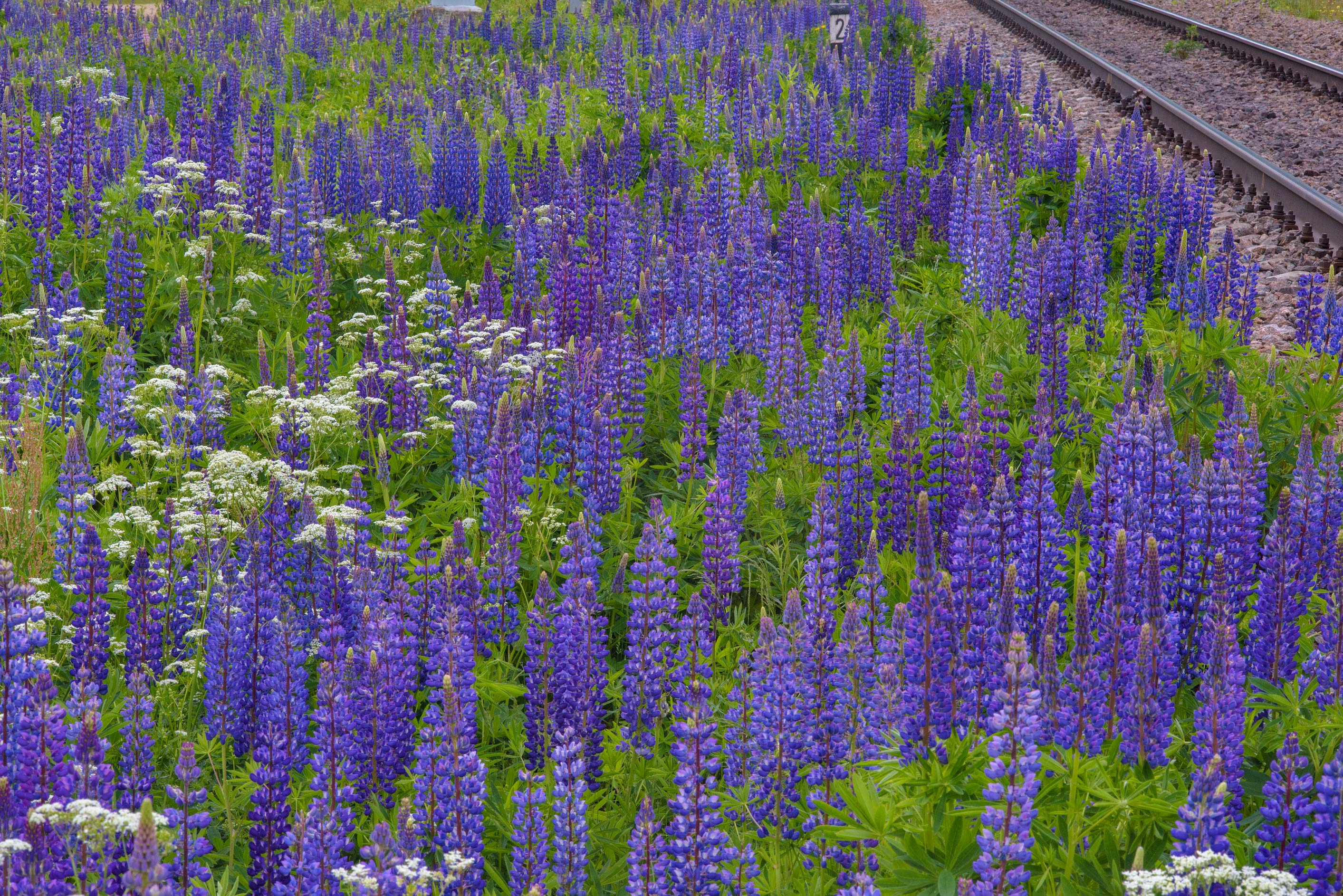 Flowers of blue lupin (Lupinus) near railroad...north from St.Petersburg. Russia
