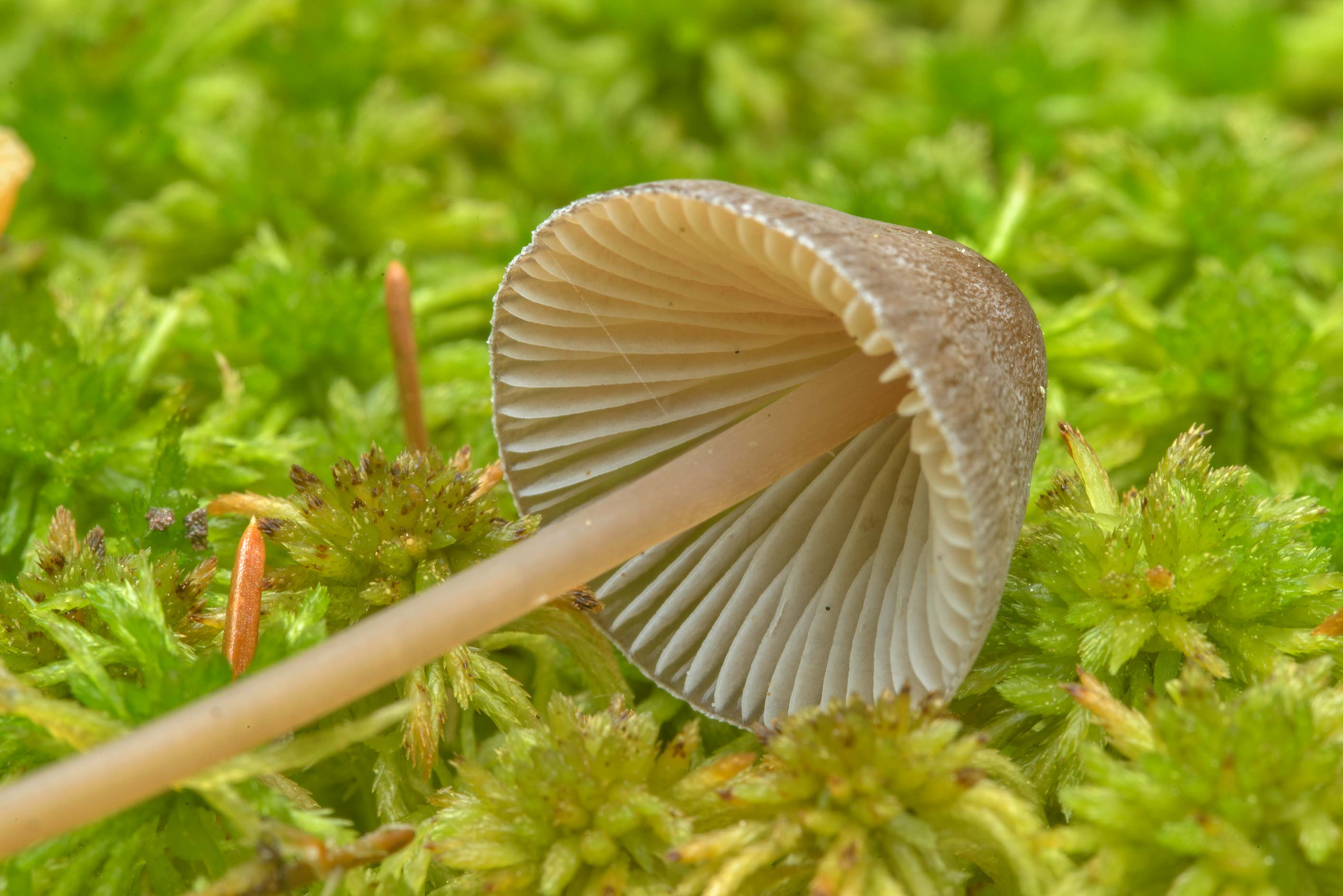 Gills of bonnet (Mycena) mushroom in a swamp near...north from St.Petersburg. Russia