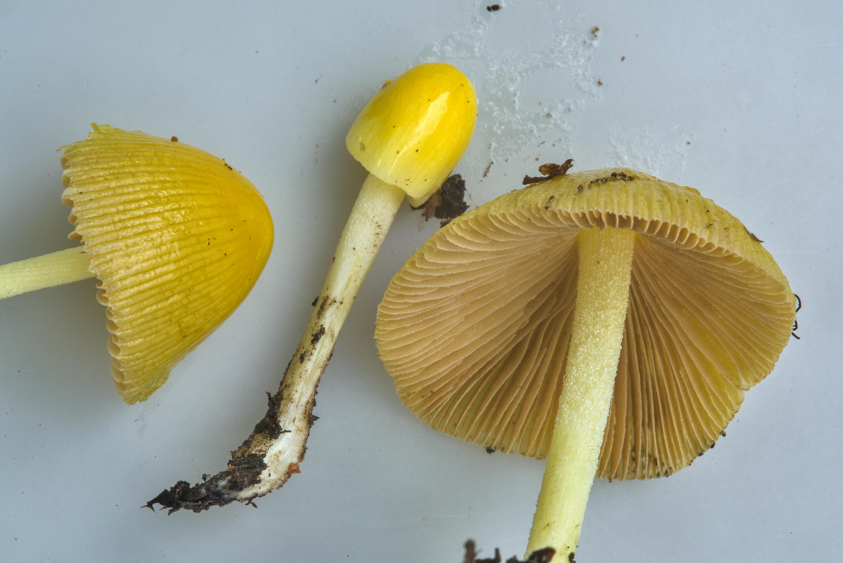 Close up of yellow fieldcap mushrooms (Bolbitius...west from St.Petersburg. Russia