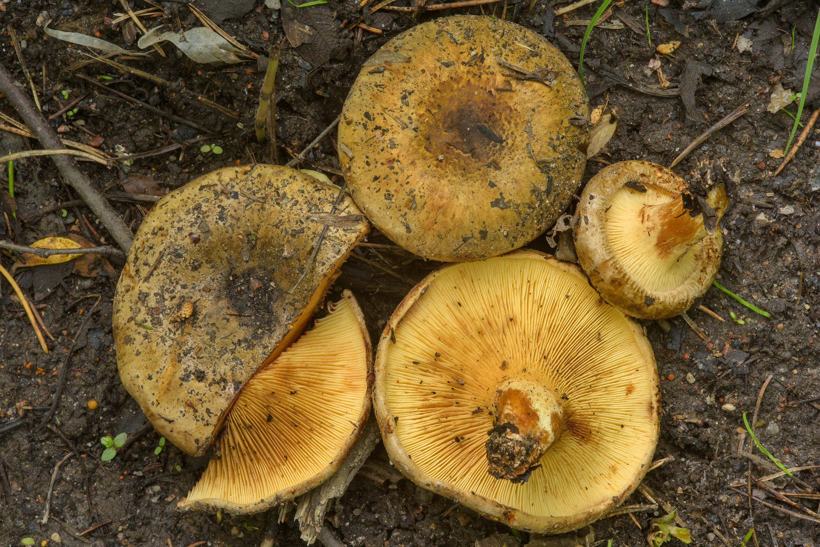 Brown rollrim mushrooms (Paxillus involutus) near...north from St.Petersburg. Russia