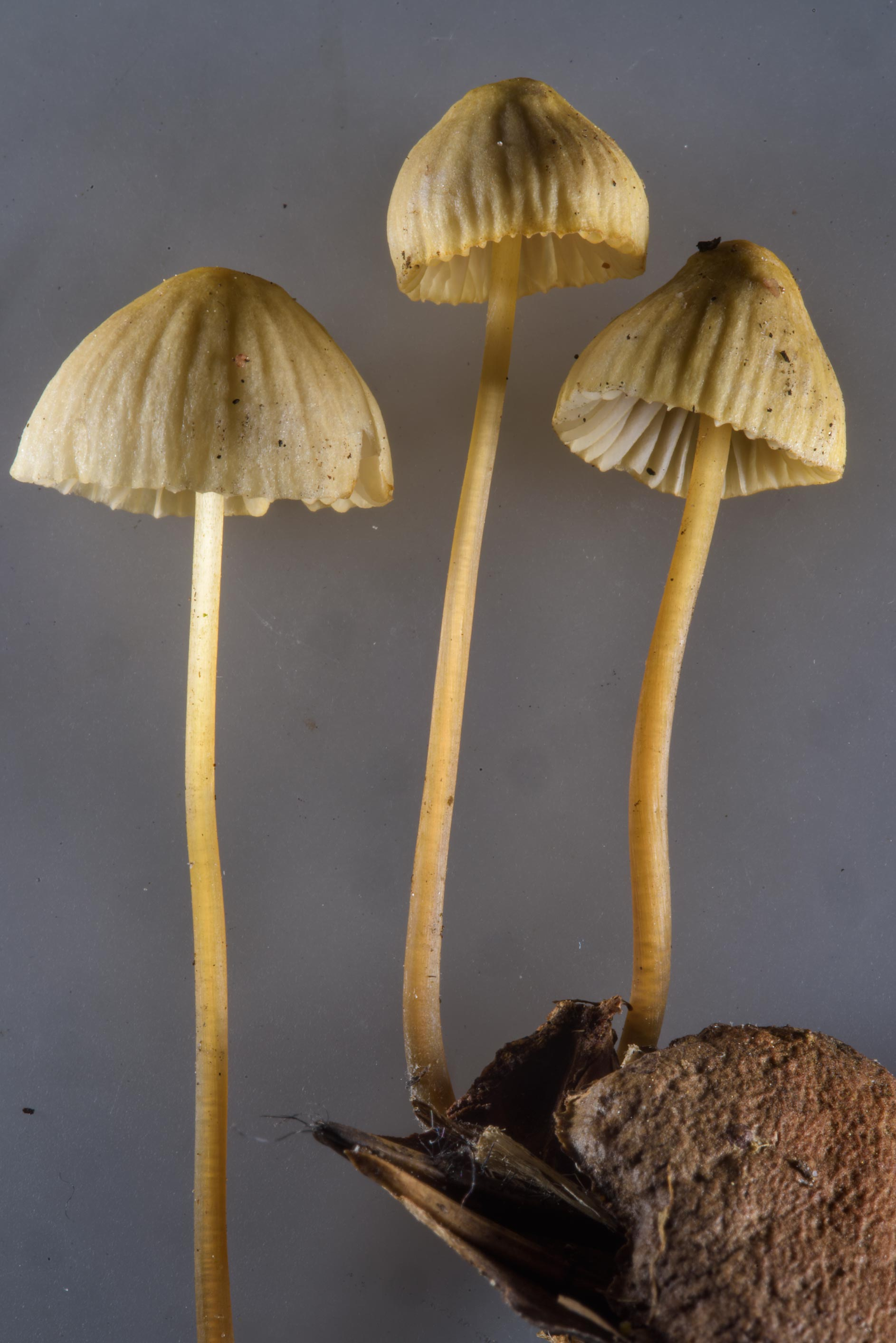 Bonnet mushrooms (Mycena) growing on wood chips...north from St.Petersburg. Russia