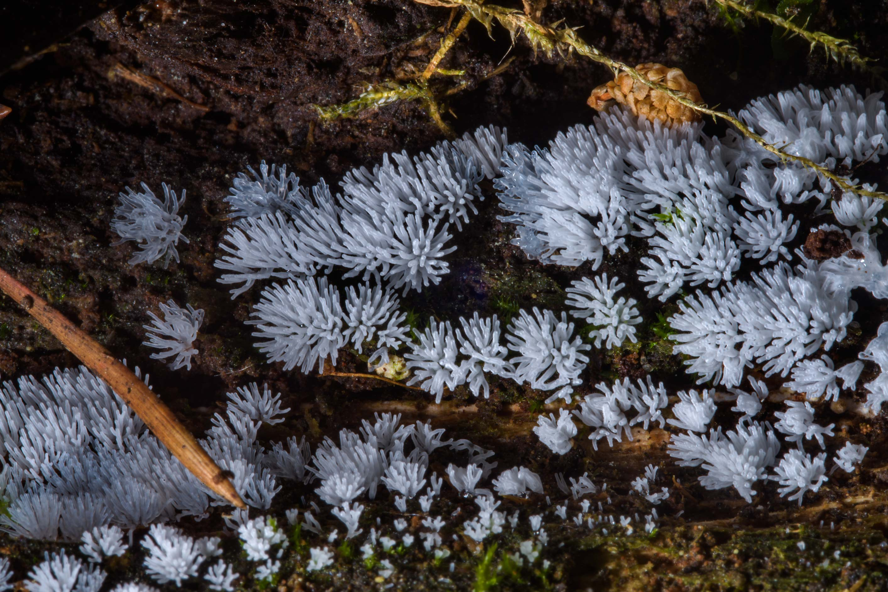 Coral slime mold (Ceratiomyxa fruticulosa) in Sosnovka Park. St.Petersburg, Russia