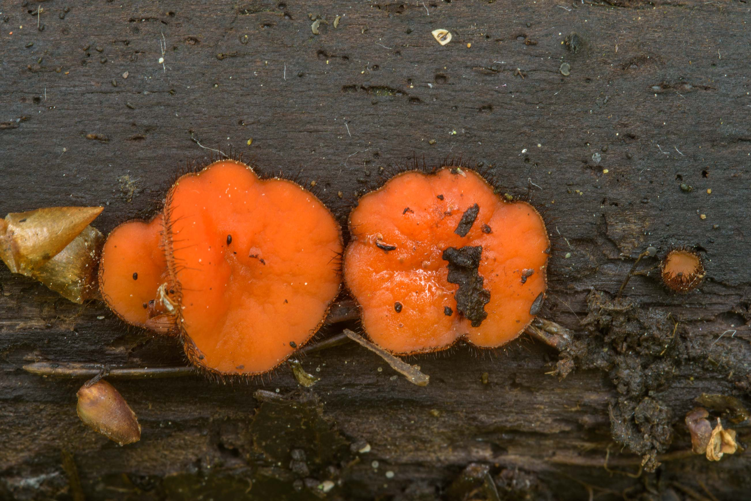 Common eyelash fungus (Scutellinia scutellata) on...Nos, west from St.Petersburg. Russia