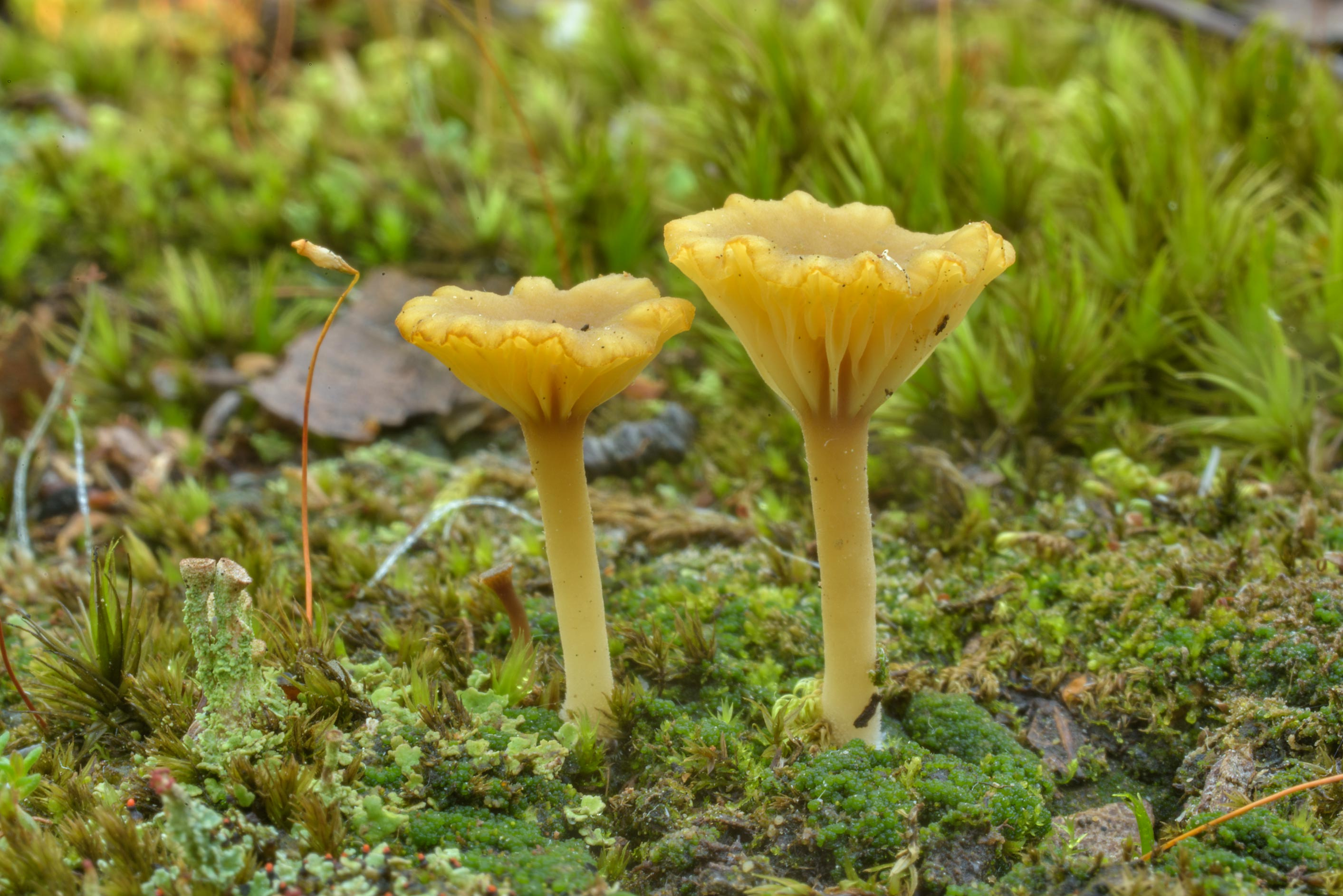 Heath navel mushrooms (Lichenomphalia umbellifera...Sosnovka Park. St.Petersburg, Russia