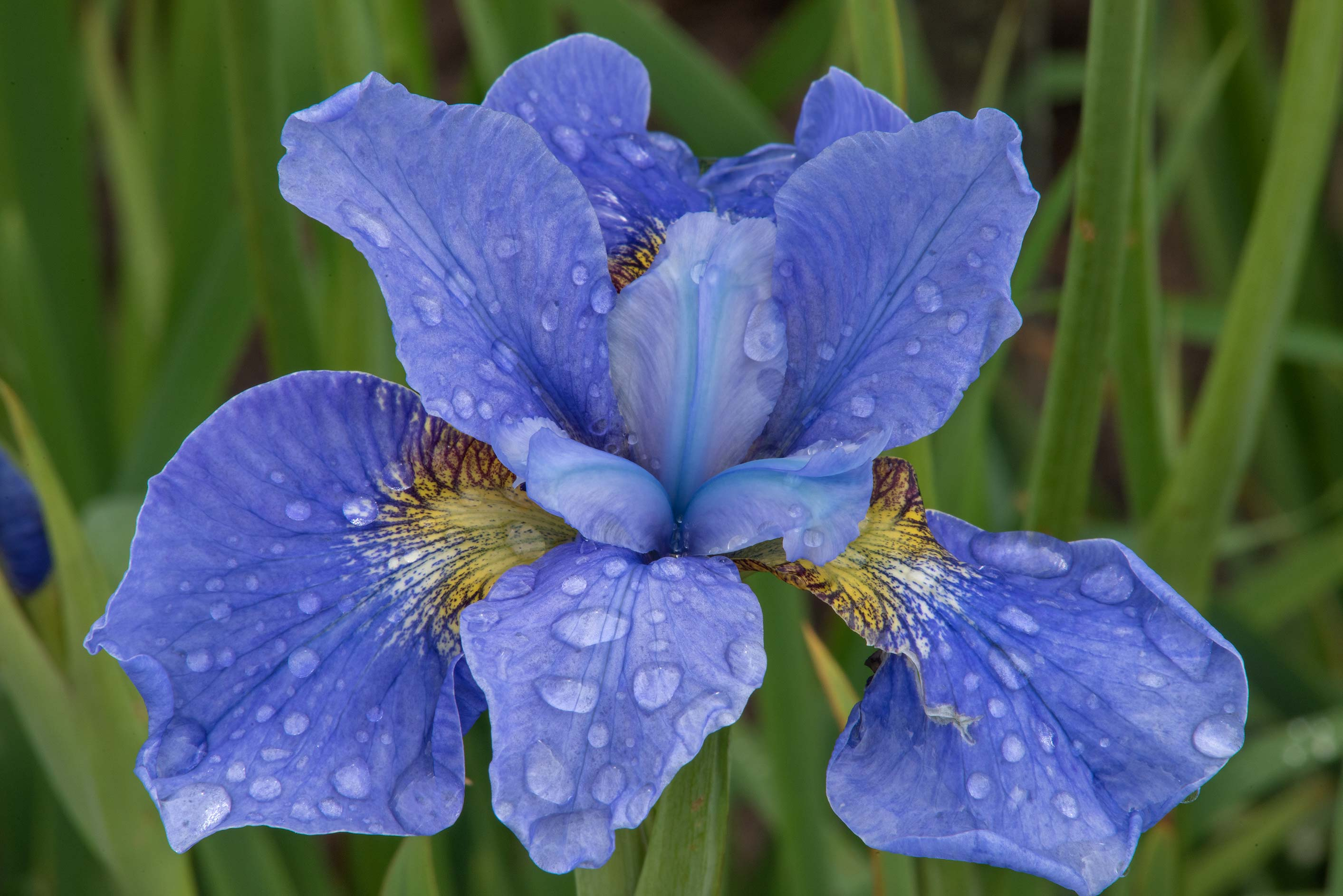 Blue iris with water drops in Botanic Gardens of...Institute. St.Petersburg, Russia