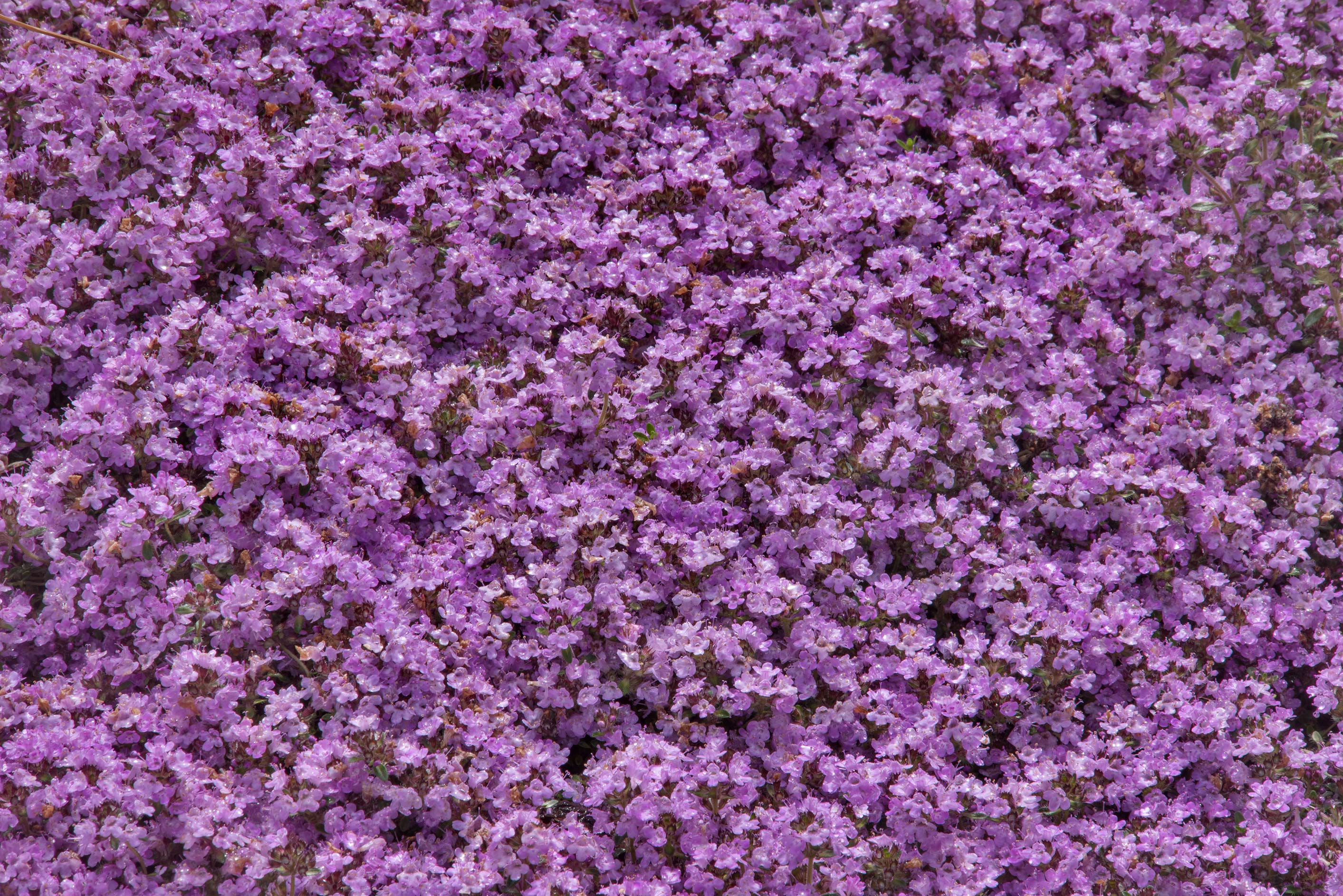 Carpet of thyme flowers in Botanic Gardens of...Institute. St.Petersburg, Russia