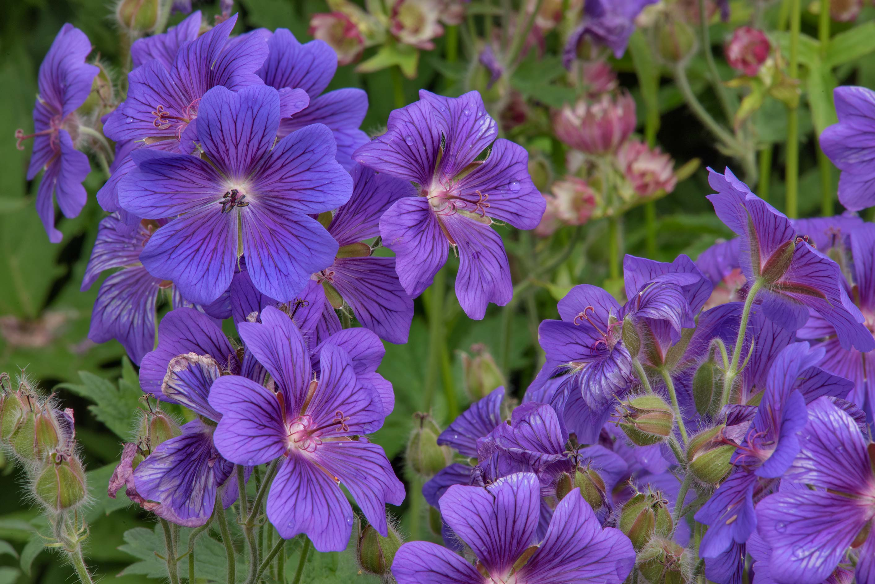 Blue striped flowers of geranium in Botanic...Institute. St.Petersburg, Russia