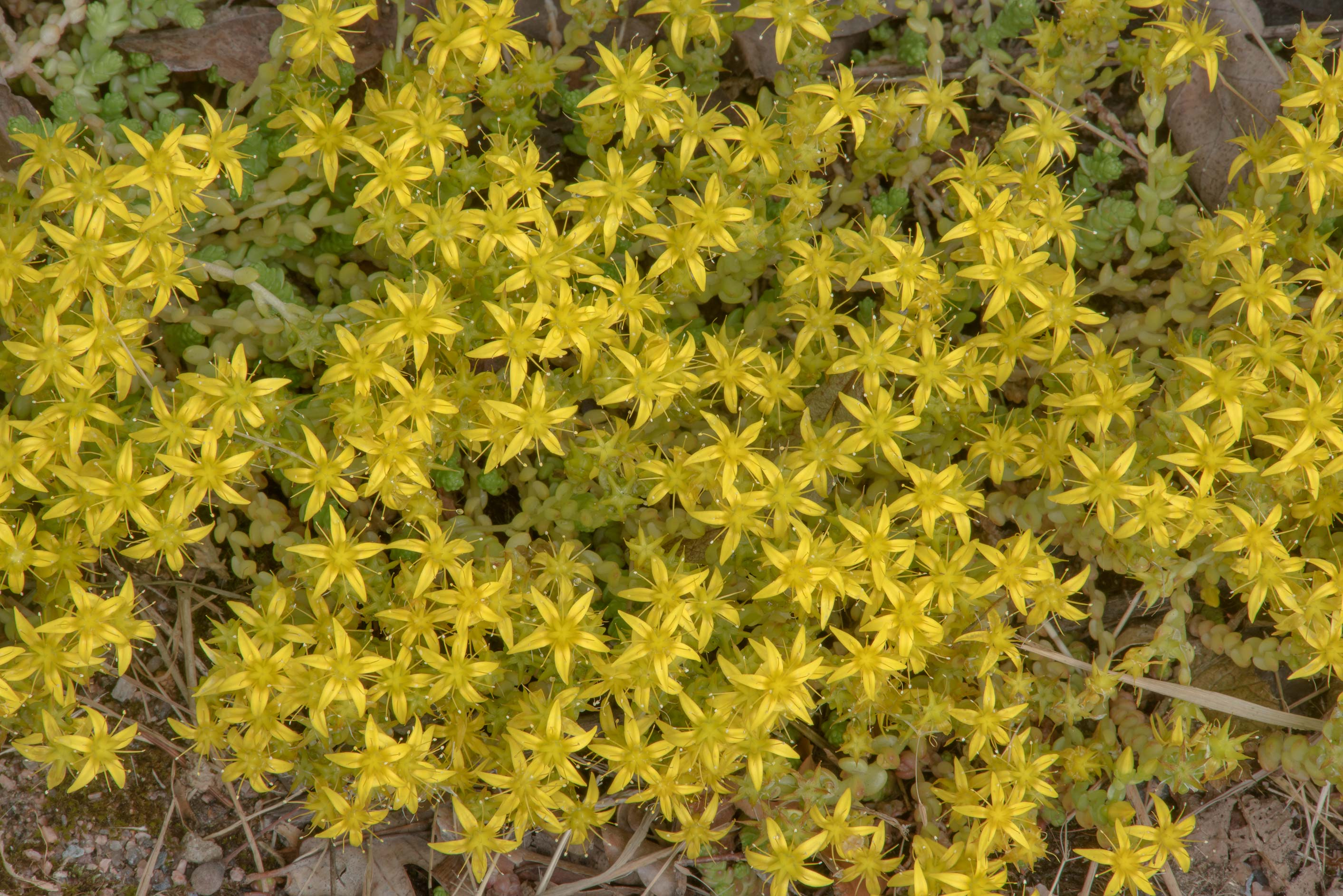Goldmoss stonecrop (Sedum acre) in Botanic...Institute. St.Petersburg, Russia