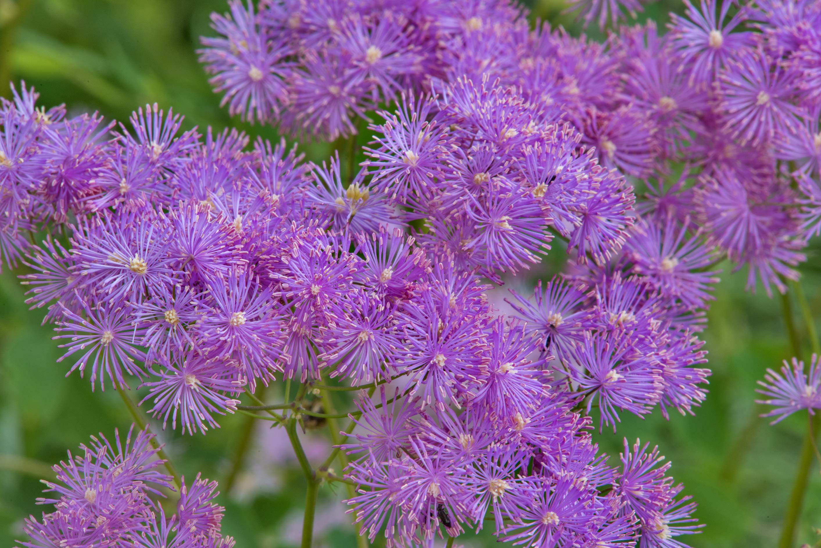 Meadow Rue (Thalictrum) in Botanic Gardens of...Institute. St.Petersburg, Russia