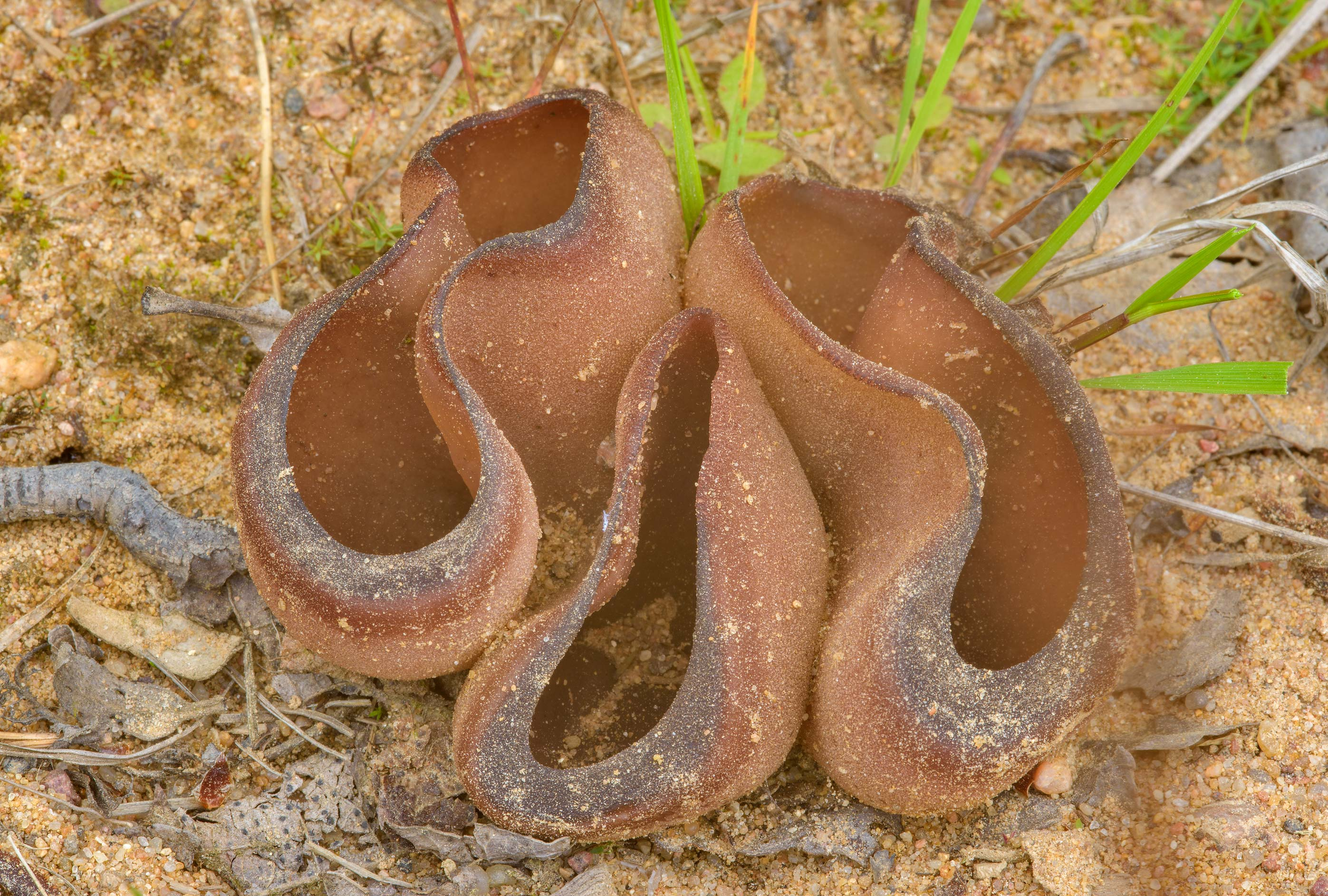 Bay cup mushrooms (Peziza badia) on sandy...miles north from St.Petersburg. Russia