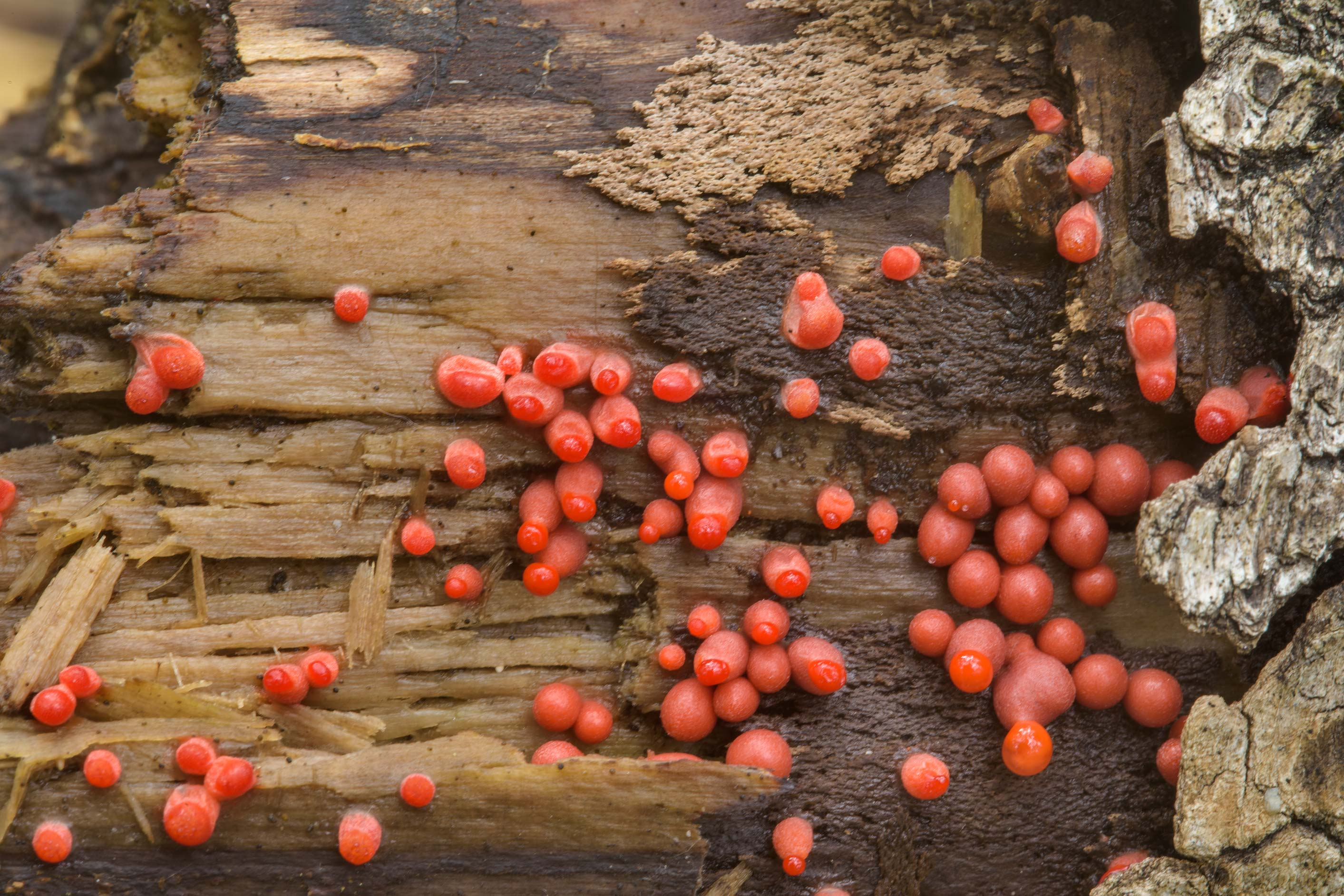 Small variation of Wolf's milk slime mold...Sosnovka Park. St.Petersburg, Russia