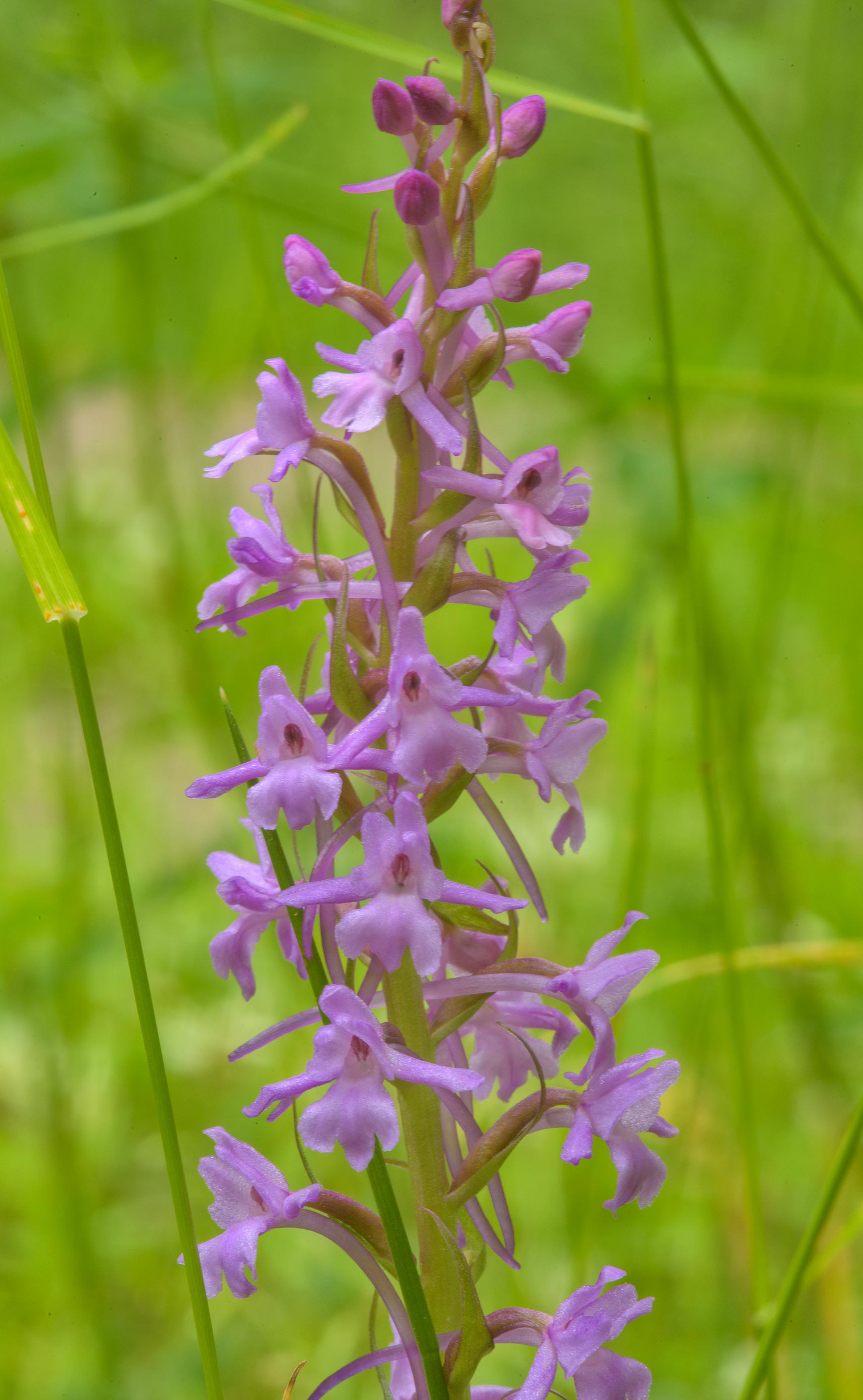 Flower spike of marsh fragrant orchid (Gymnadenia...Park. St.Petersburg, Russia