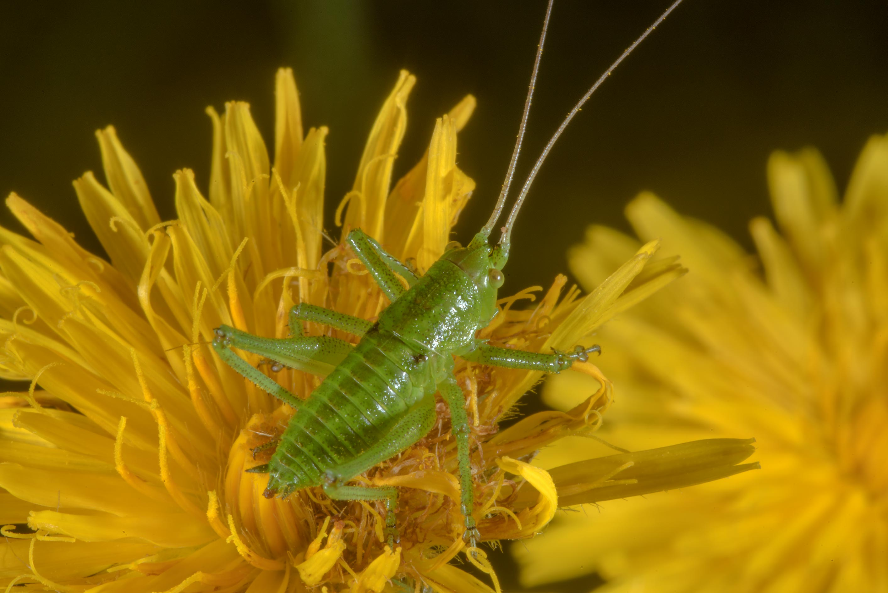 Green grasshopper on hawkweed flowers in Posiolok...south from St.Petersburg, Russia