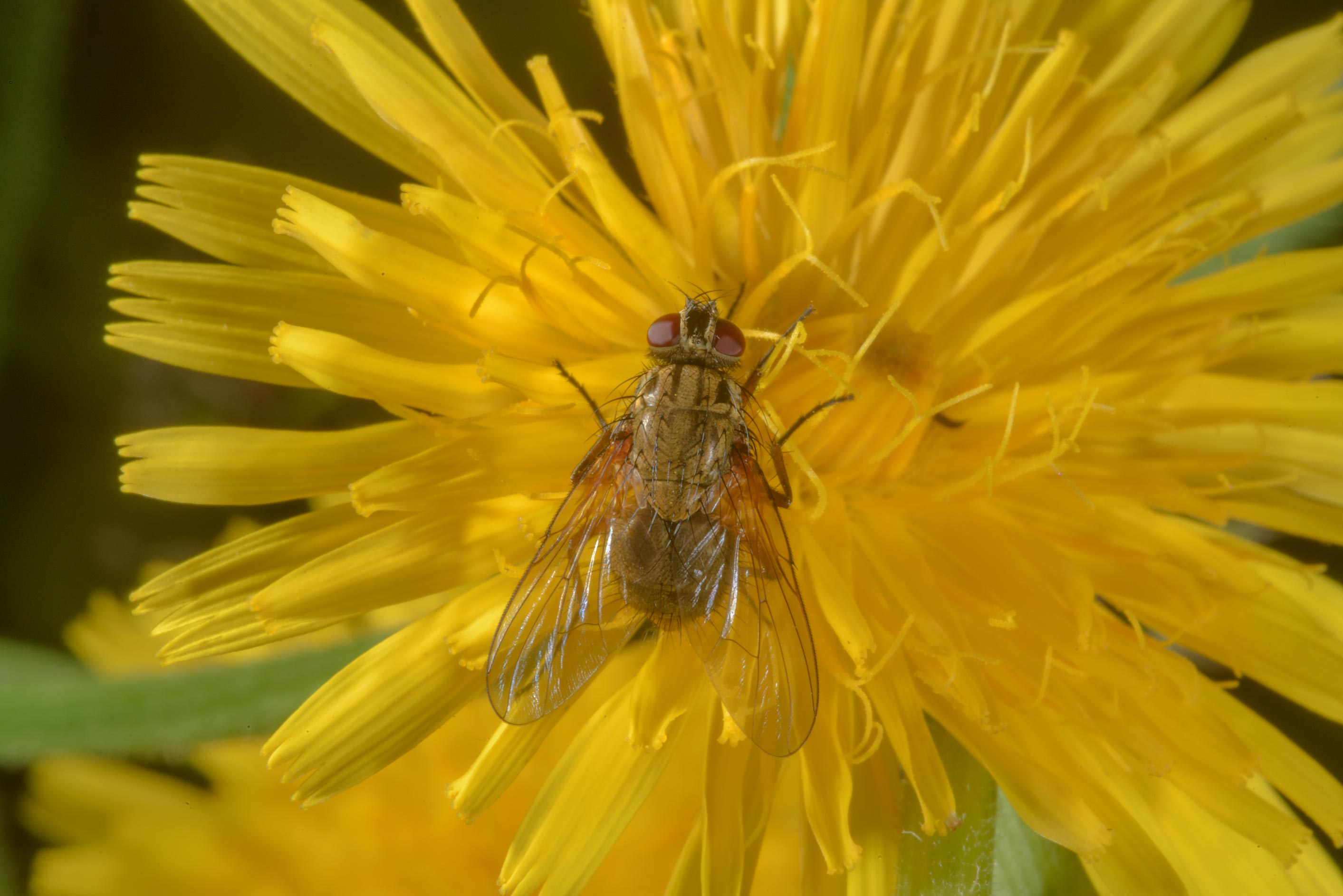 Small fly on a hawkweed flower in Posiolok near Vyritsa, south from St.Petersburg, Russia