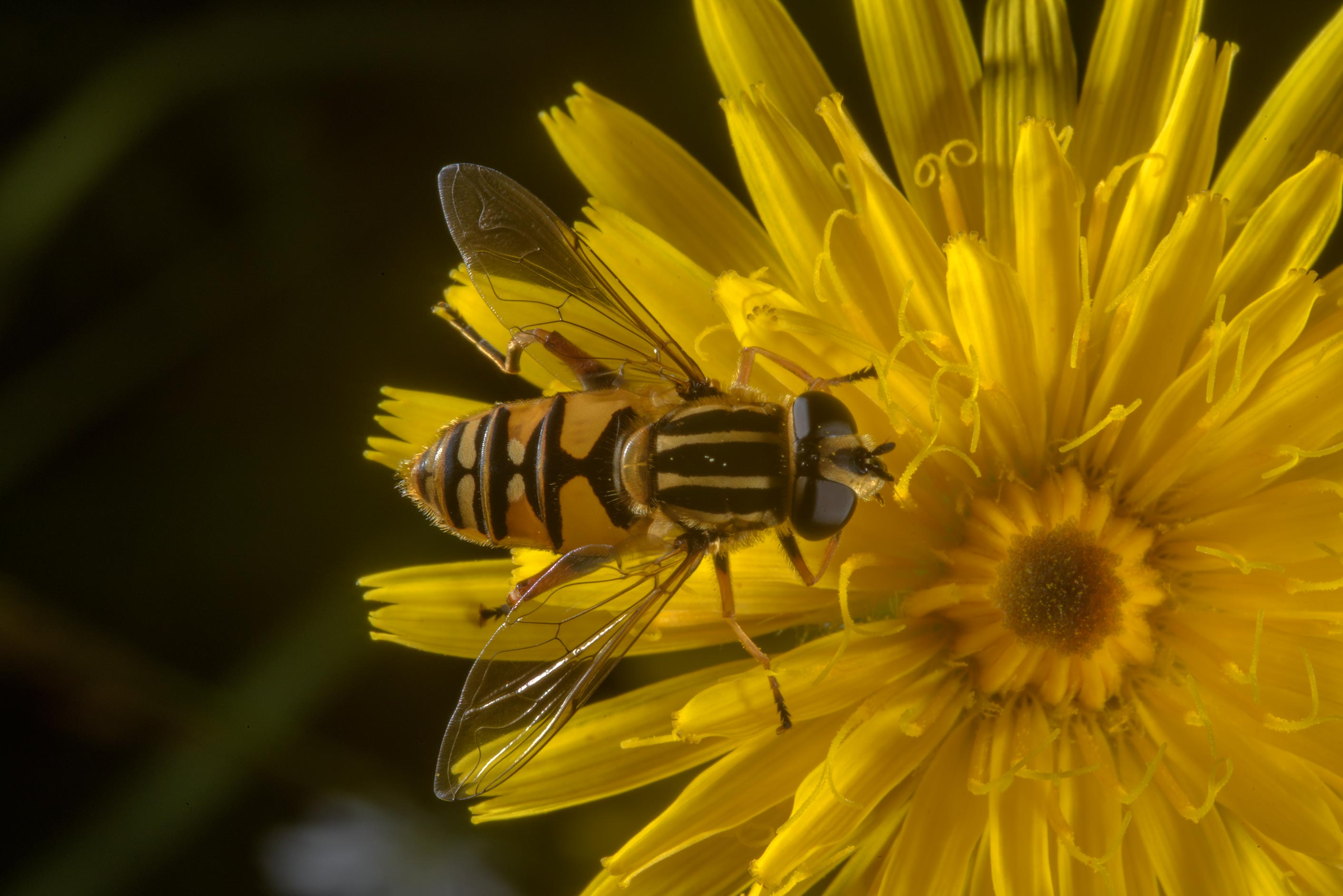 Hoverfly on a hawkweed flower in Posiolok near Vyritsa, south from St.Petersburg, Russia