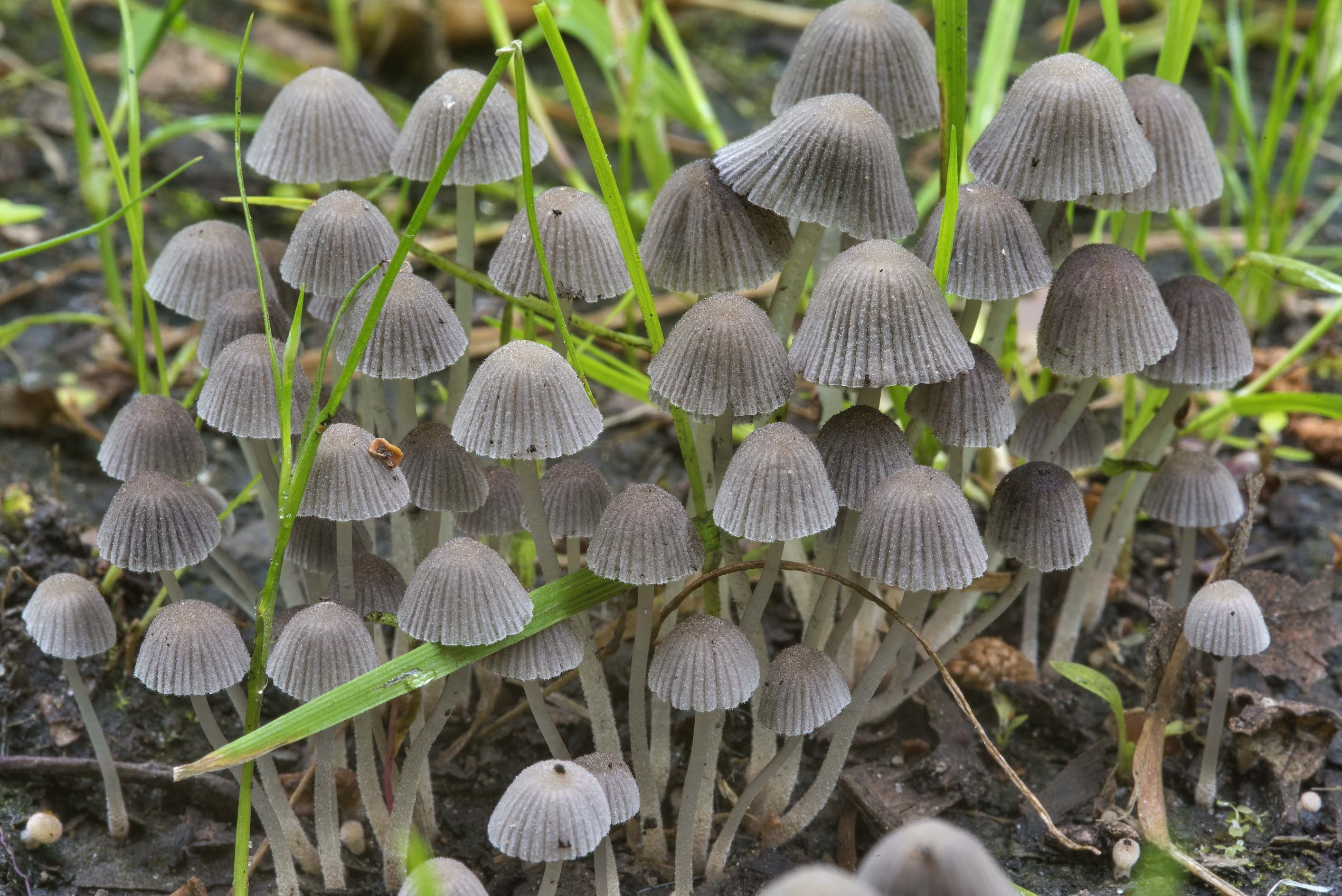 Cluster of fairy inkcap mushrooms (Coprinellus...Sosnovka Park. St.Petersburg, Russia