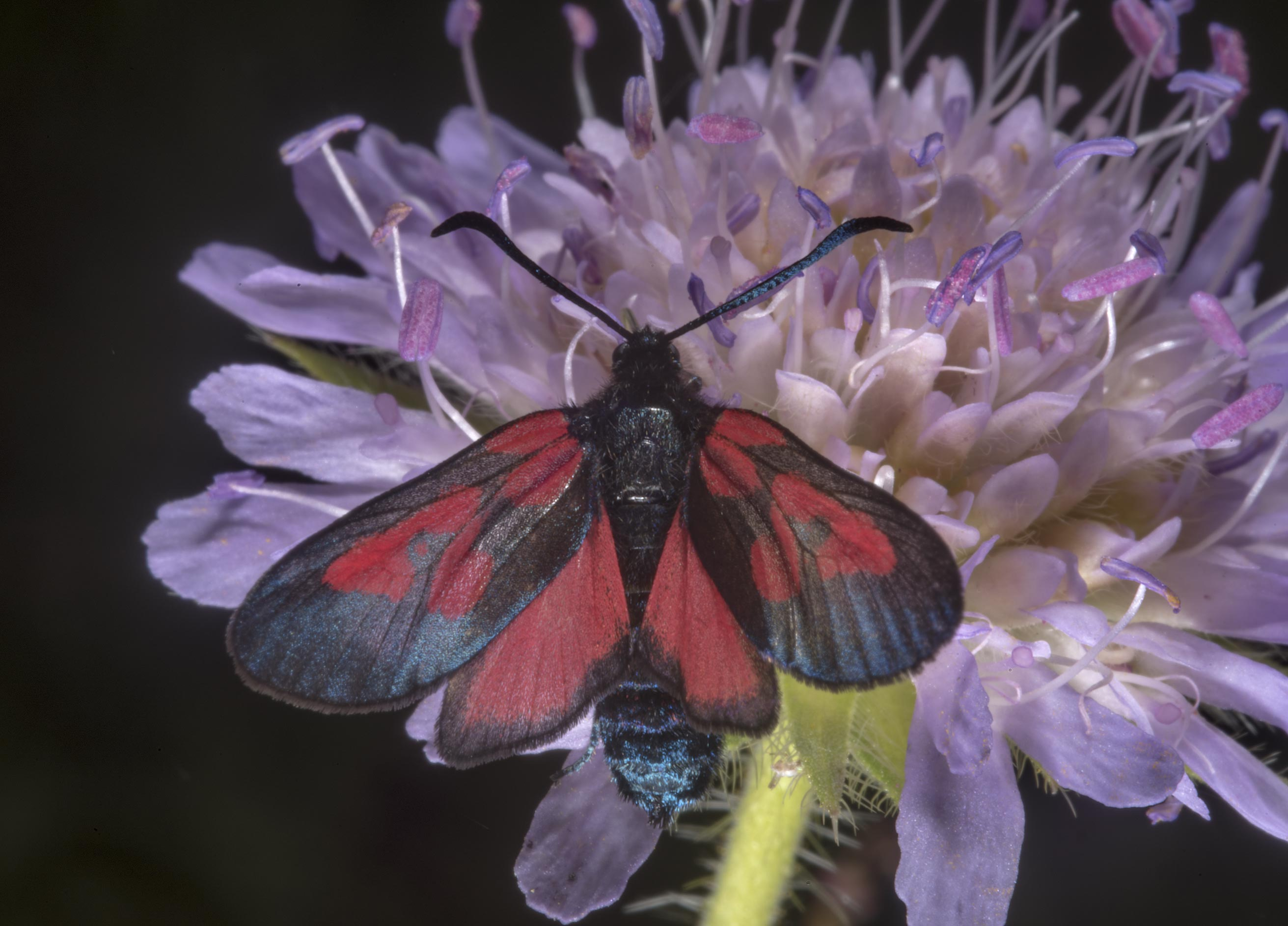 Red and black moth on field scabious (Knautia...miles south from St.Petersburg. Russia
