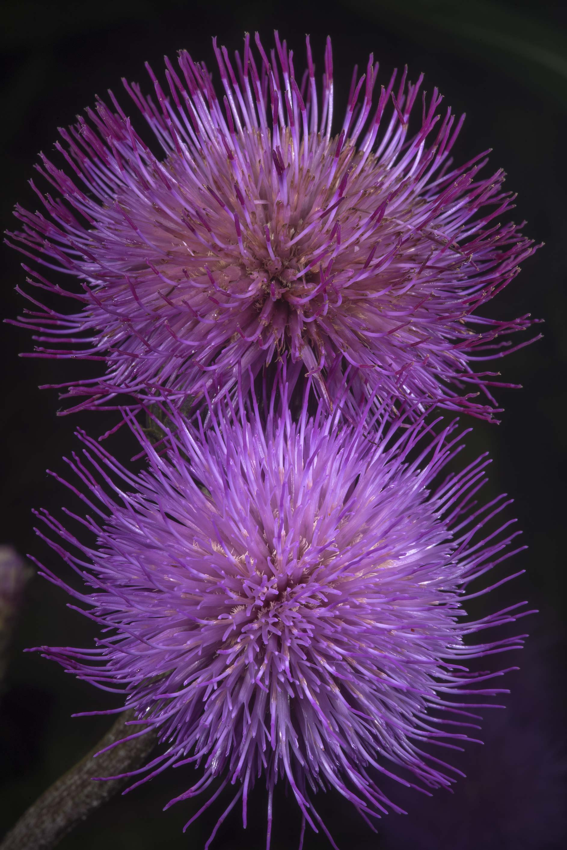 Flowers of field thistle (Cirsium) in Siverskaya...miles south from St.Petersburg. Russia