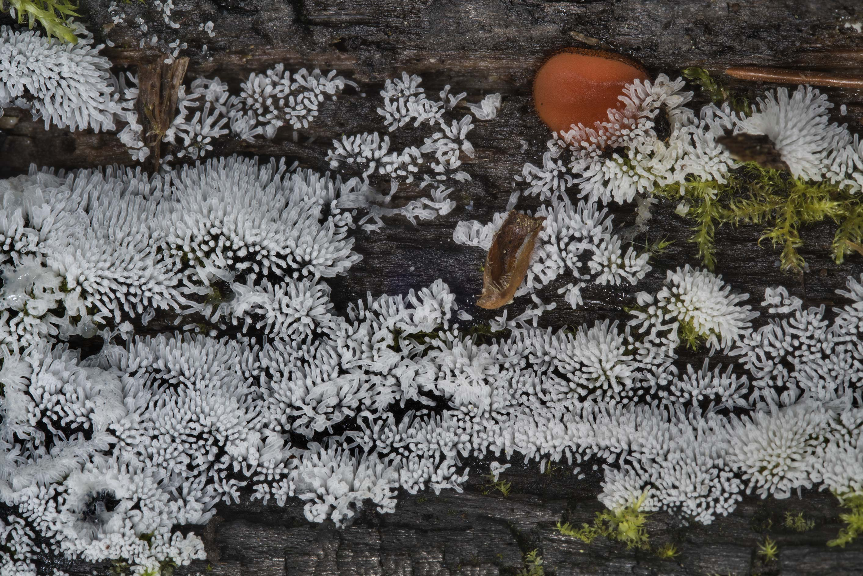 Coral slime mold (Ceratiomyxa fruticulosa) near...north from St.Petersburg. Russia