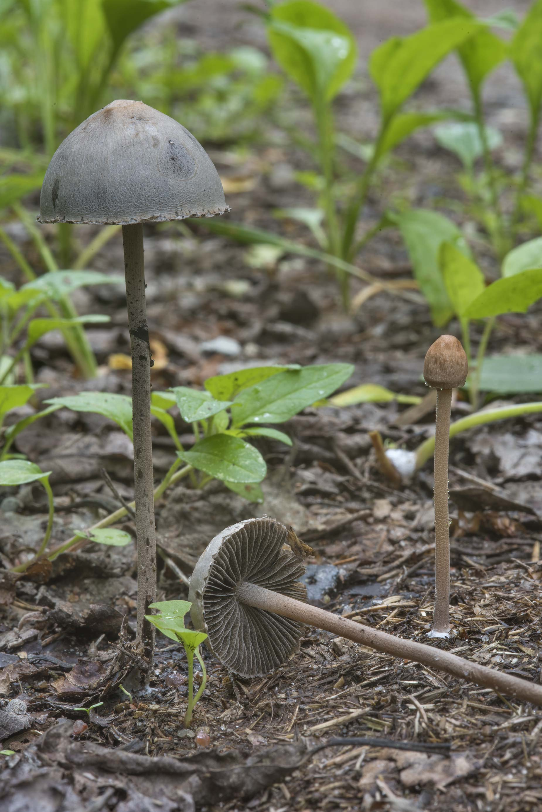 Dung roundhead mushrooms (Protostropharia...north from St.Petersburg. Russia