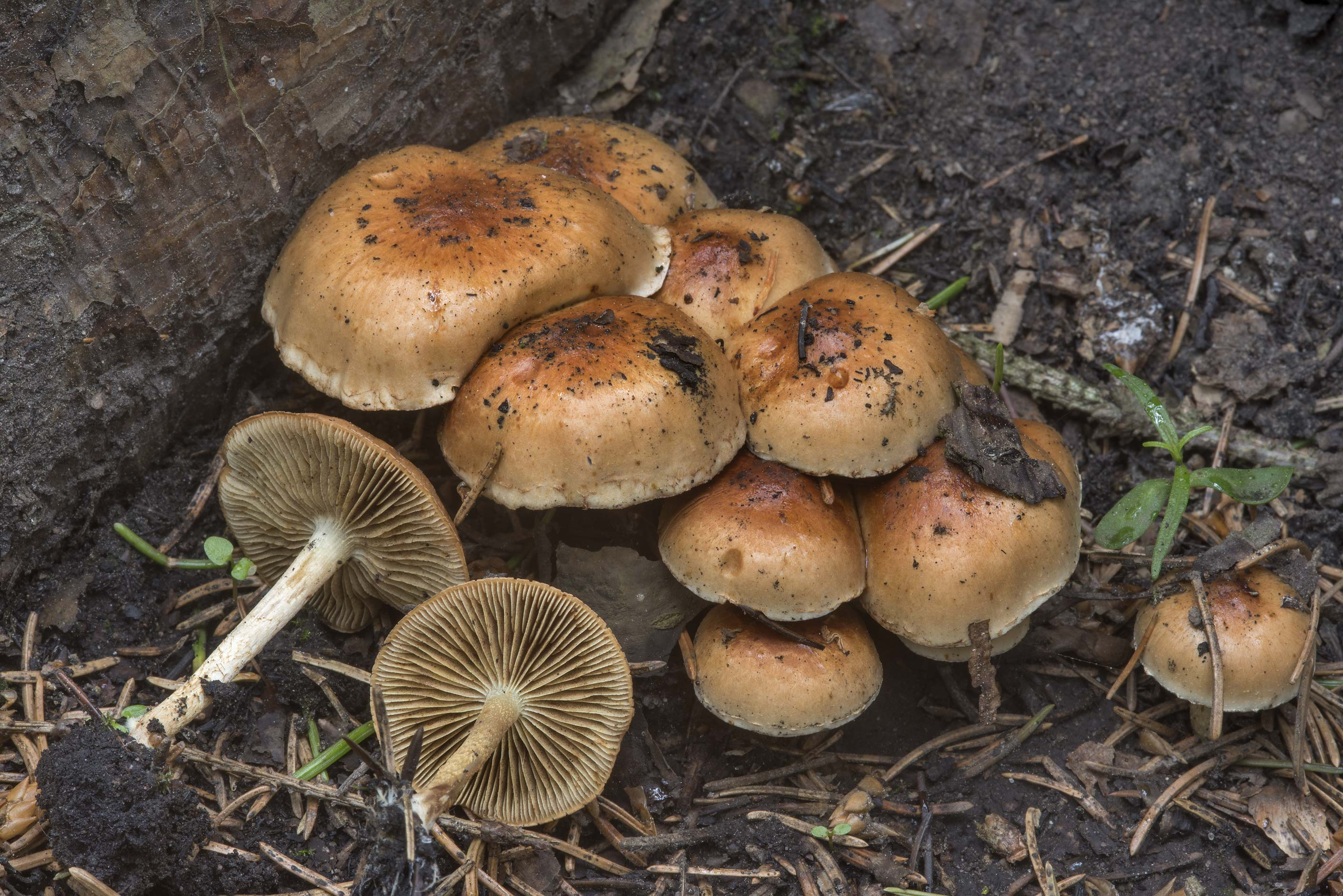Bonfire scalycap mushrooms (Pholiota...north from St.Petersburg. Russia