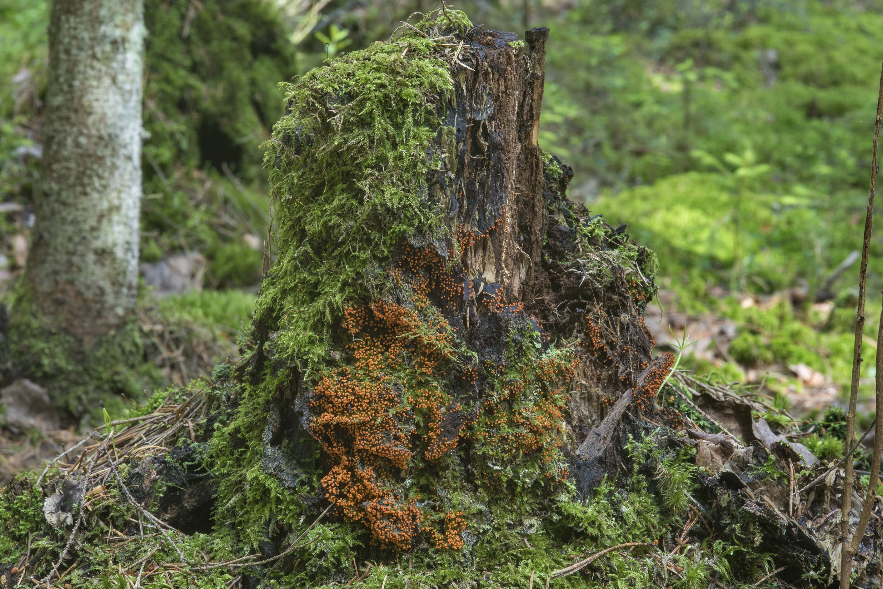 Slime mold Trichia decipiens on a rotten stump in...north-west from St.Petersburg. Russia