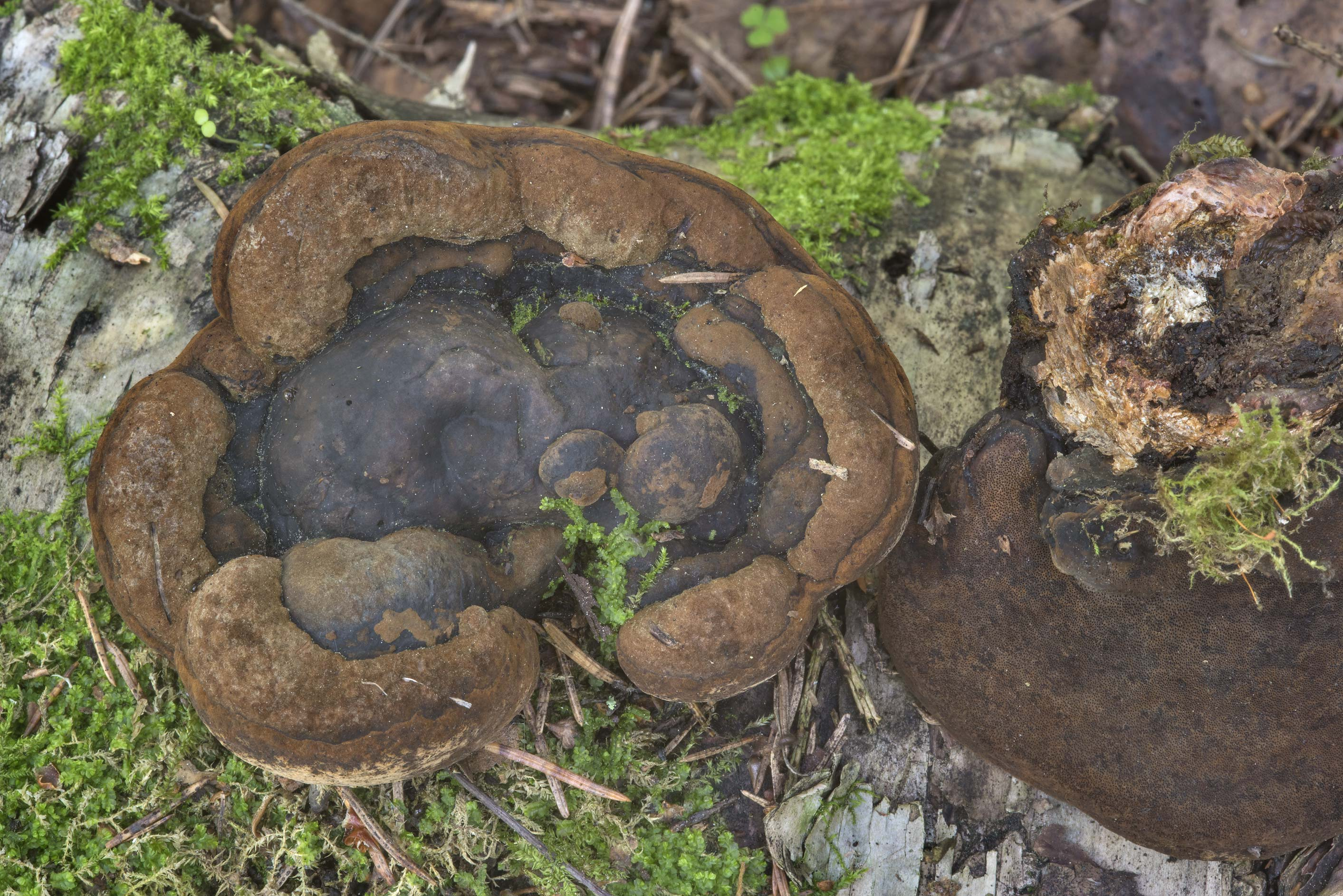 Phellinus polypore mushrooms on a mossy log near...north-west from St.Petersburg. Russia