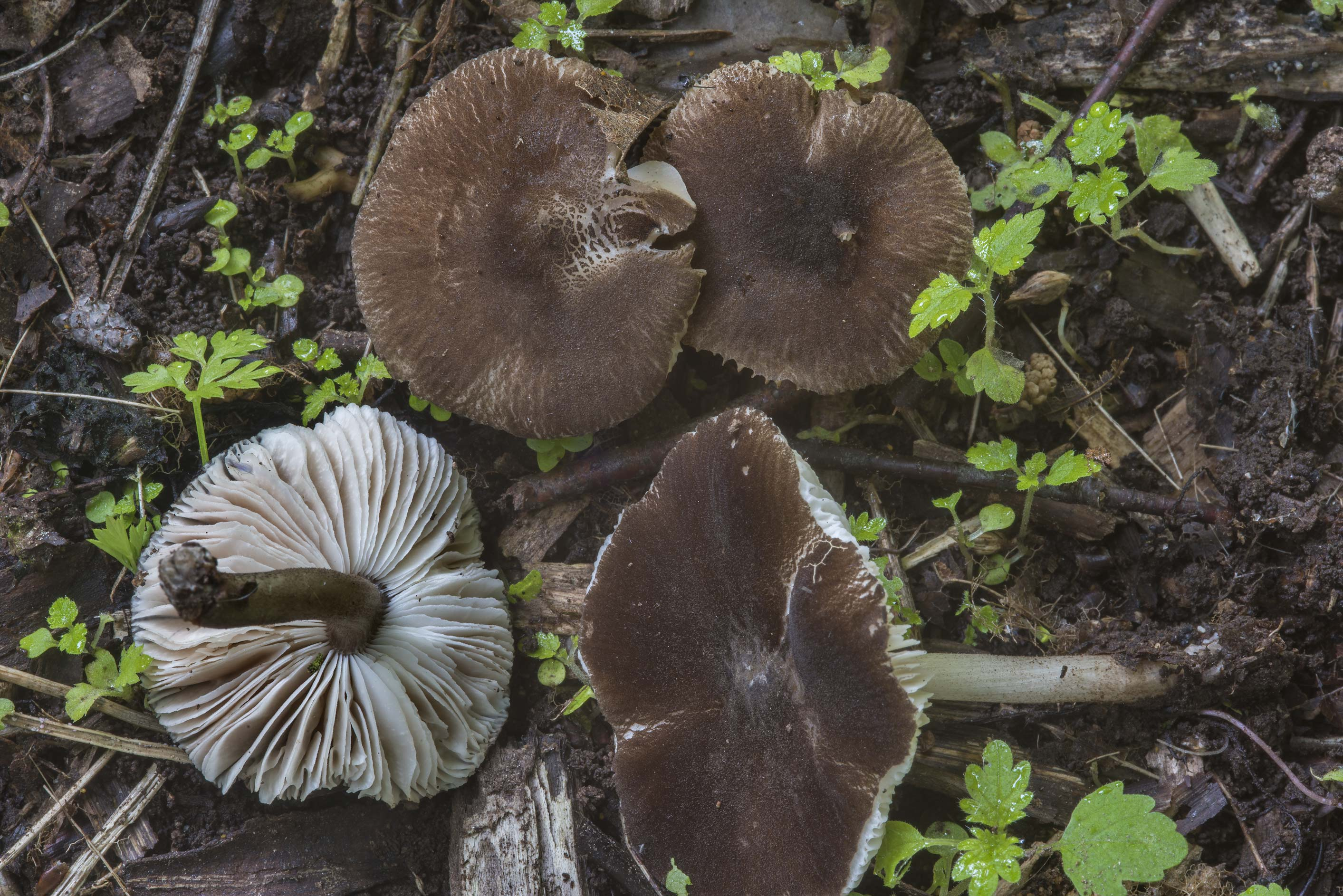Mushrooms Pluteus podospileus on reach soil on a...Sosnovka Park. St.Petersburg, Russia