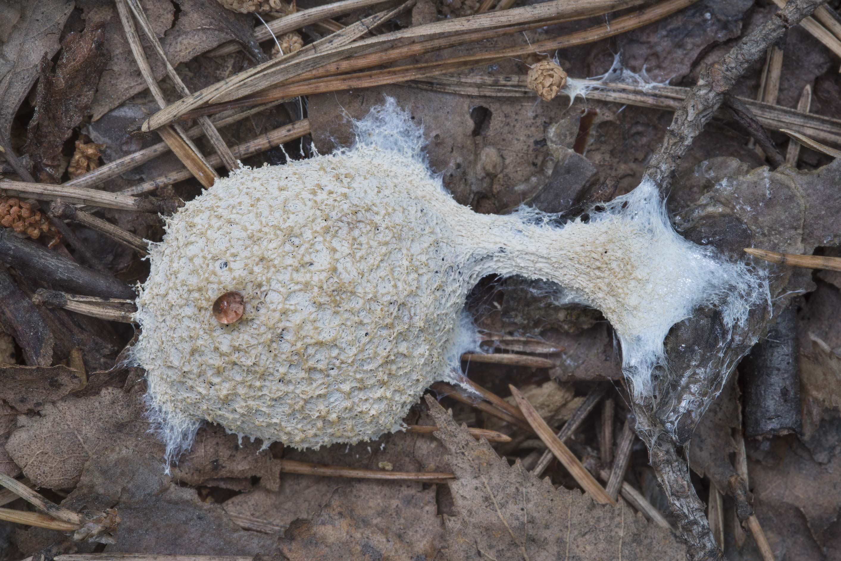 Dog sick slime mould (Mucilago crustacea) in Sosnovka Park. St.Petersburg, Russia