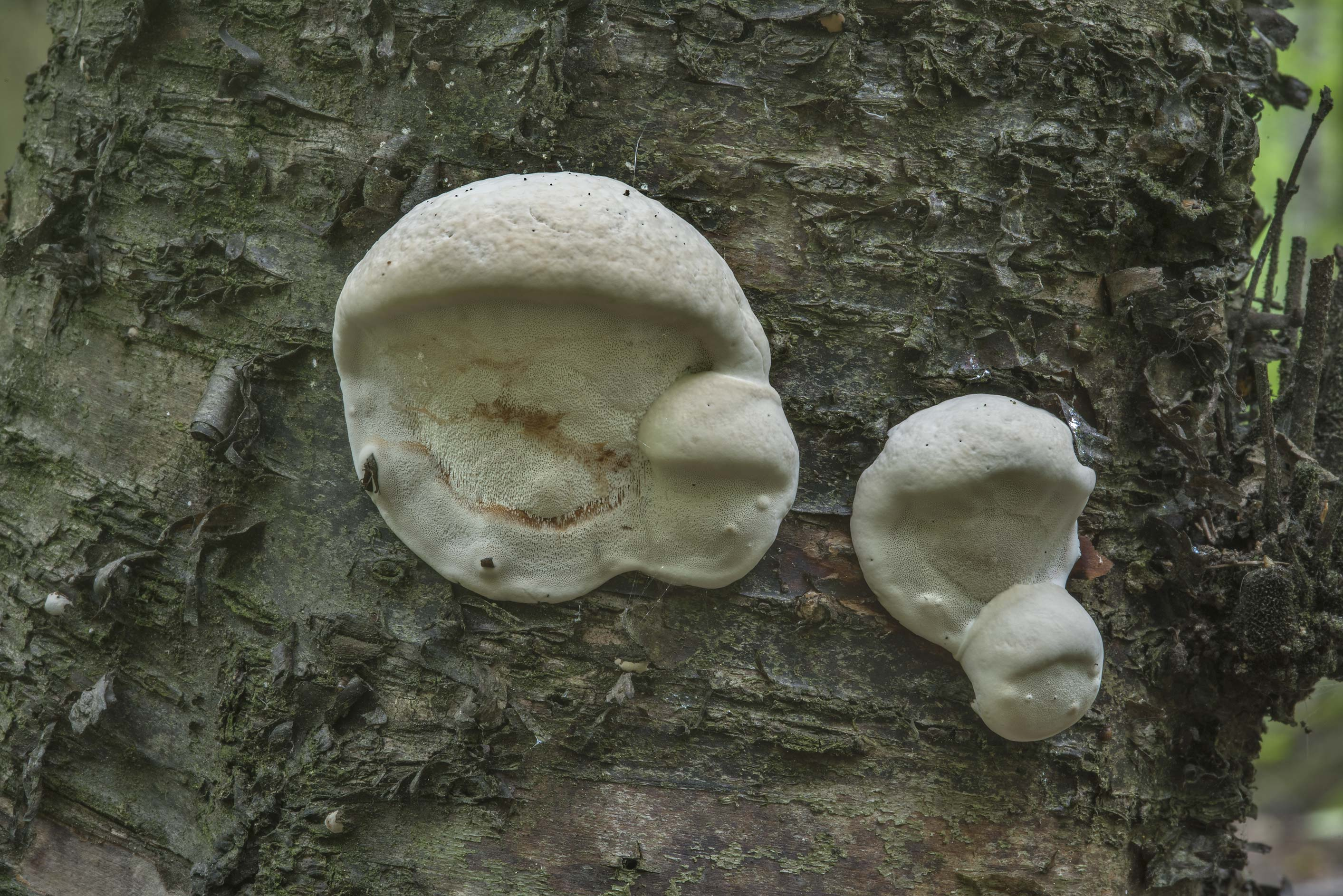 The Greasy bracket polypore mushrooms...Sosnovka Park. St.Petersburg, Russia