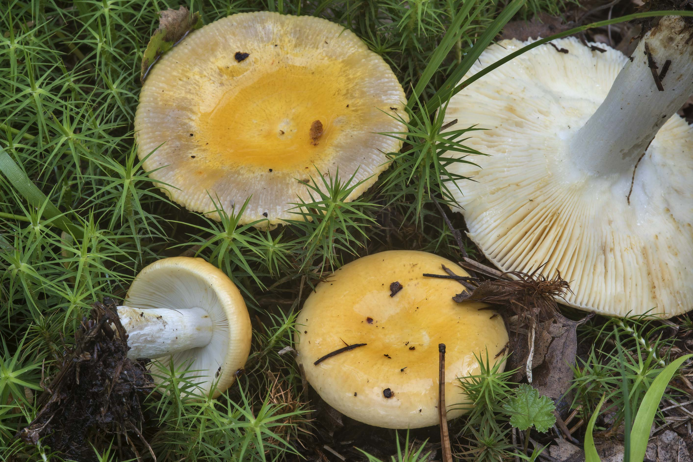 Yellow brittlegill (Russula) mushrooms in Sosnovka Park. St.Petersburg, Russia