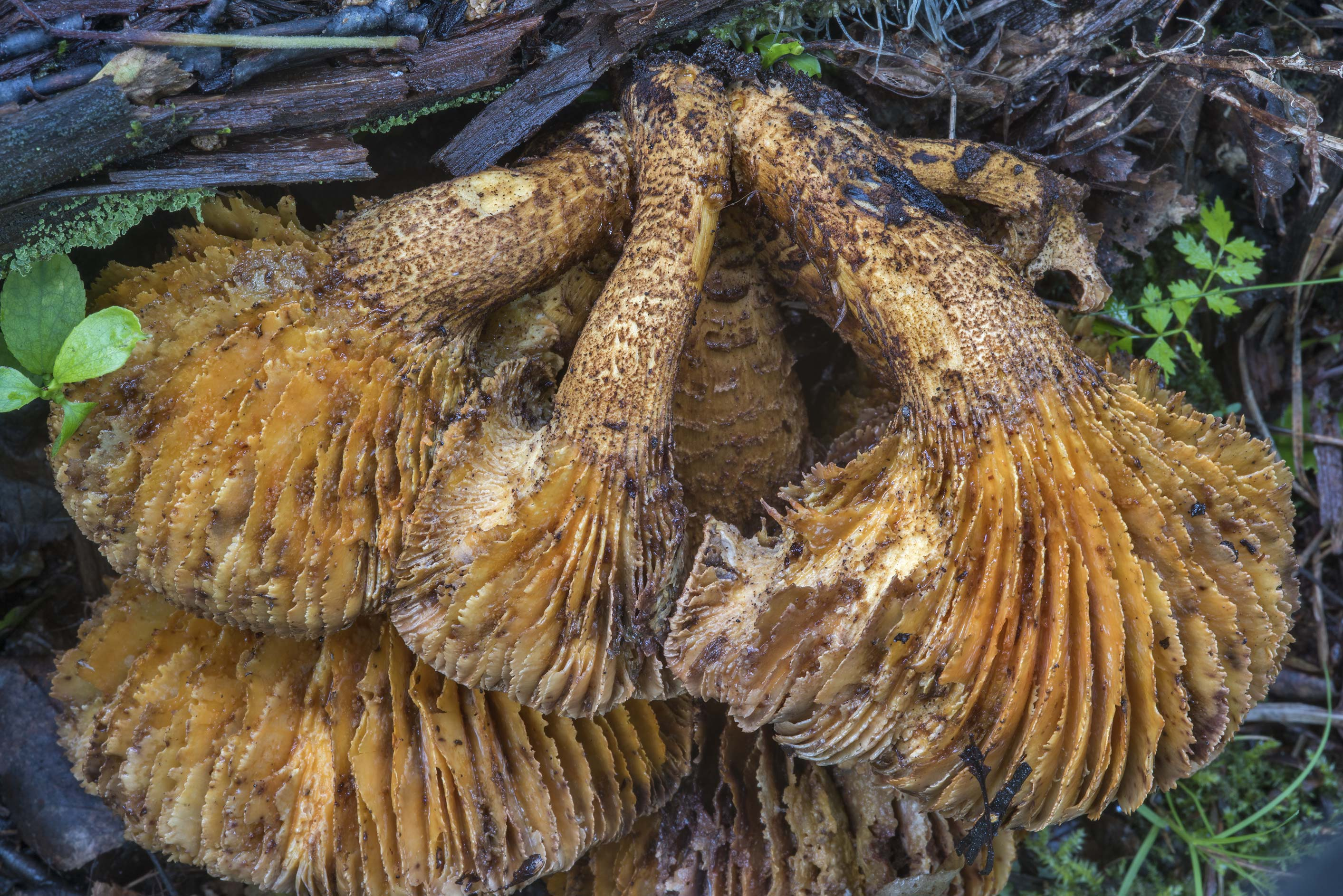 Gills of scaly sawgill mushrooms (Neolentinus...Sosnovka Park. St.Petersburg, Russia