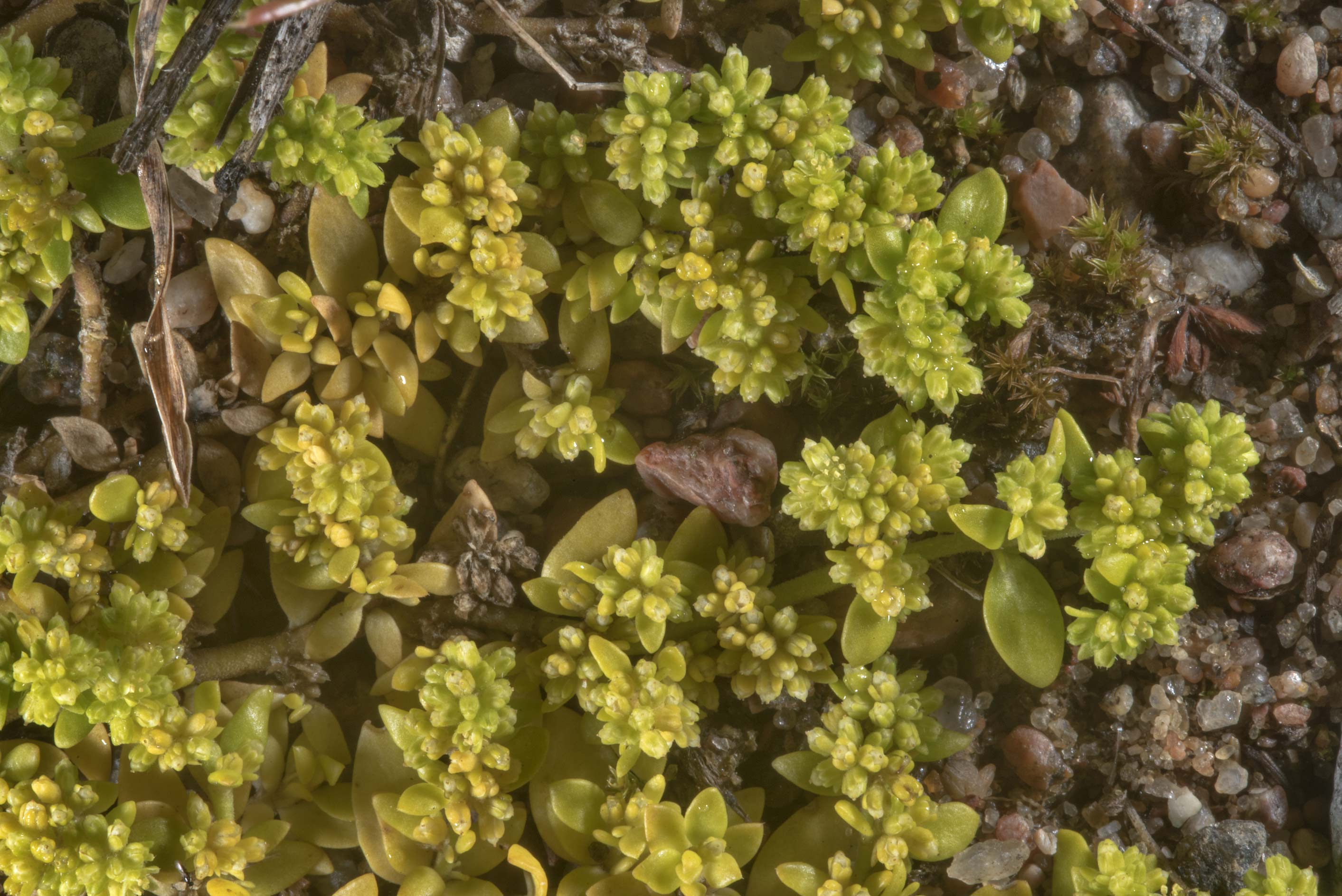 Smooth rupturewort (Herniaria glabra) on sandy...north from St.Petersburg. Russia
