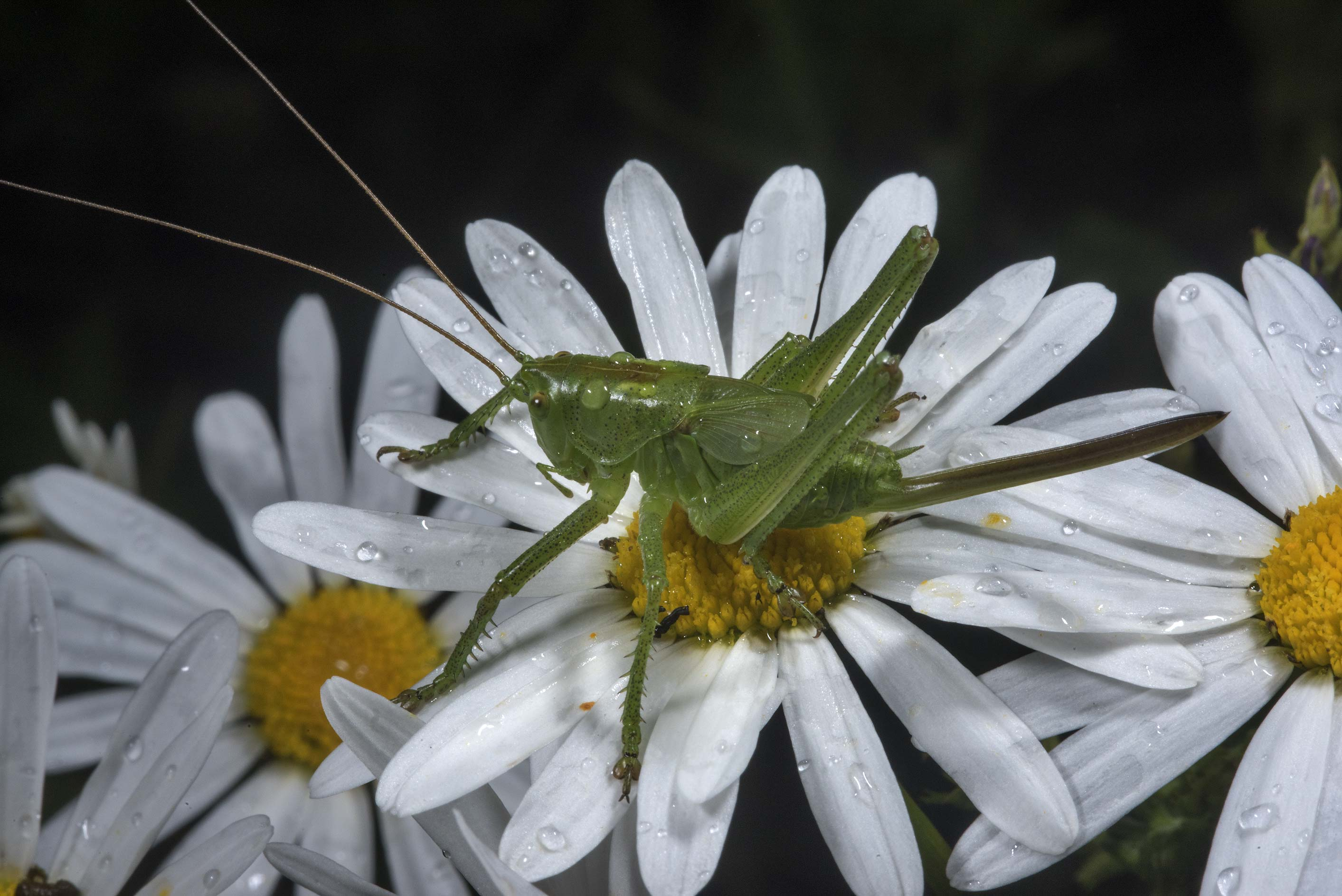 Green grasshopper on daisy flowers near the train...north from St.Petersburg. Russia
