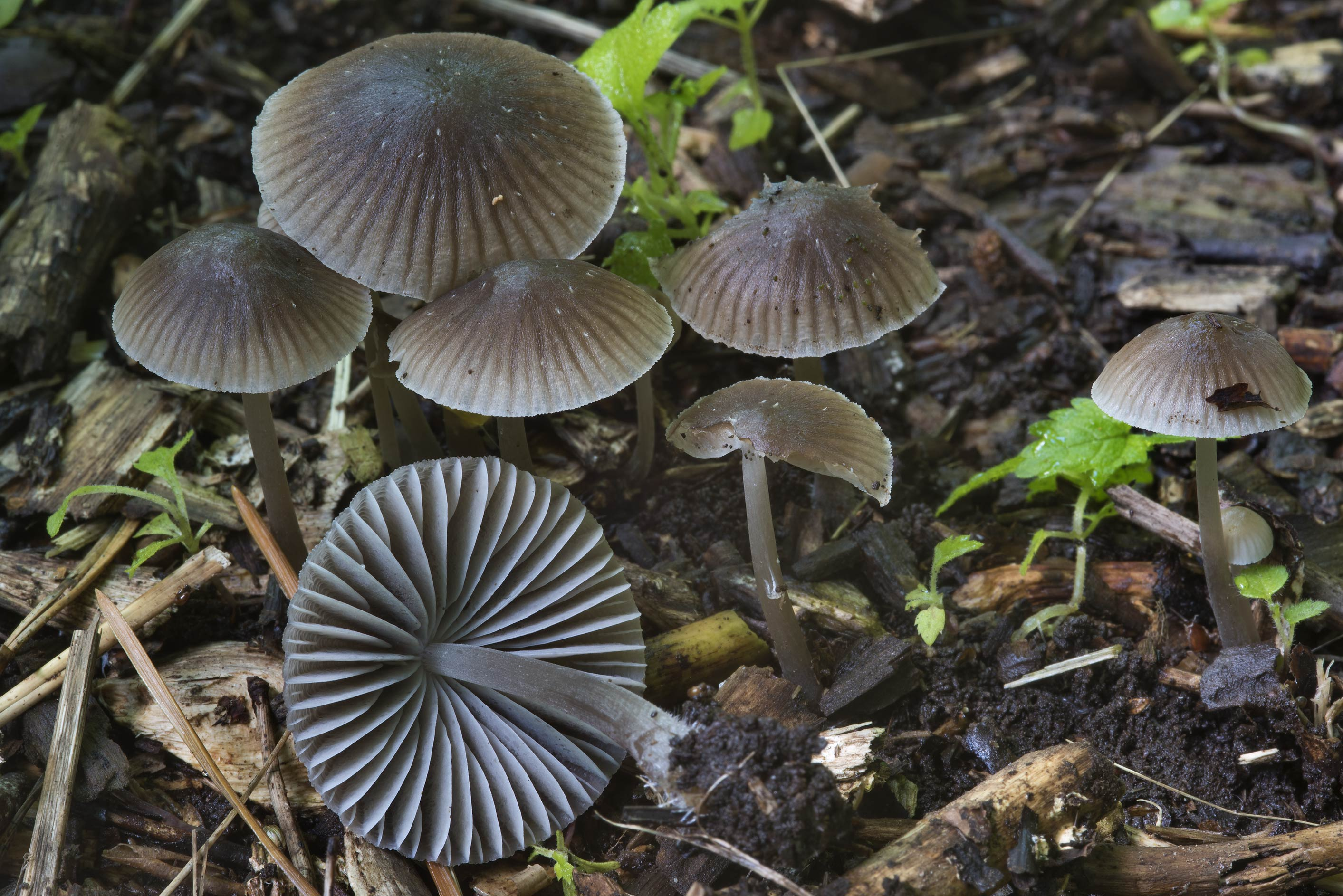 Group of grey-brown nitrous bonnet mushrooms...Sosnovka Park. St.Petersburg, Russia