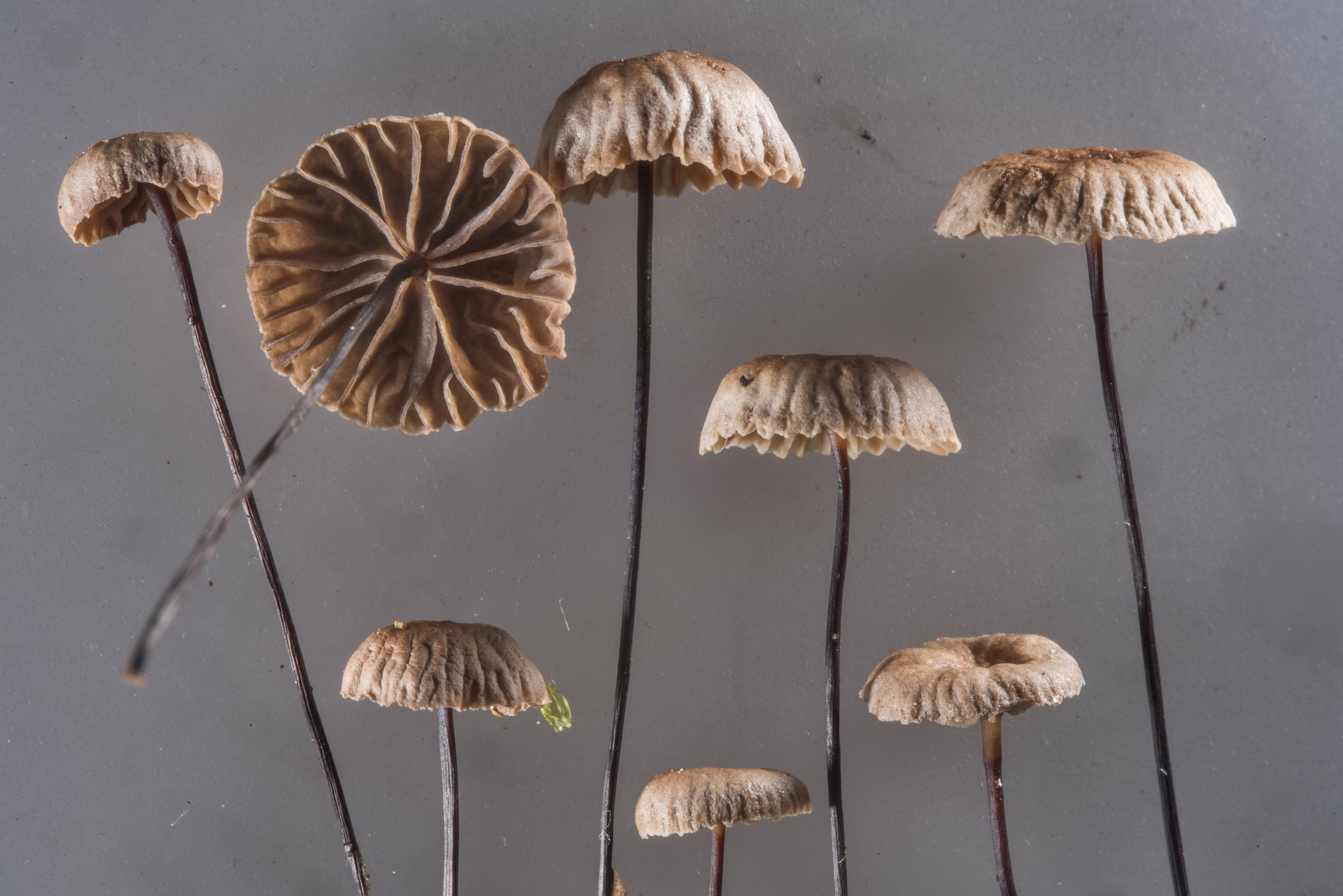 Horsehair parachute mushrooms (Gymnopus...north-west from St.Petersburg. Russia