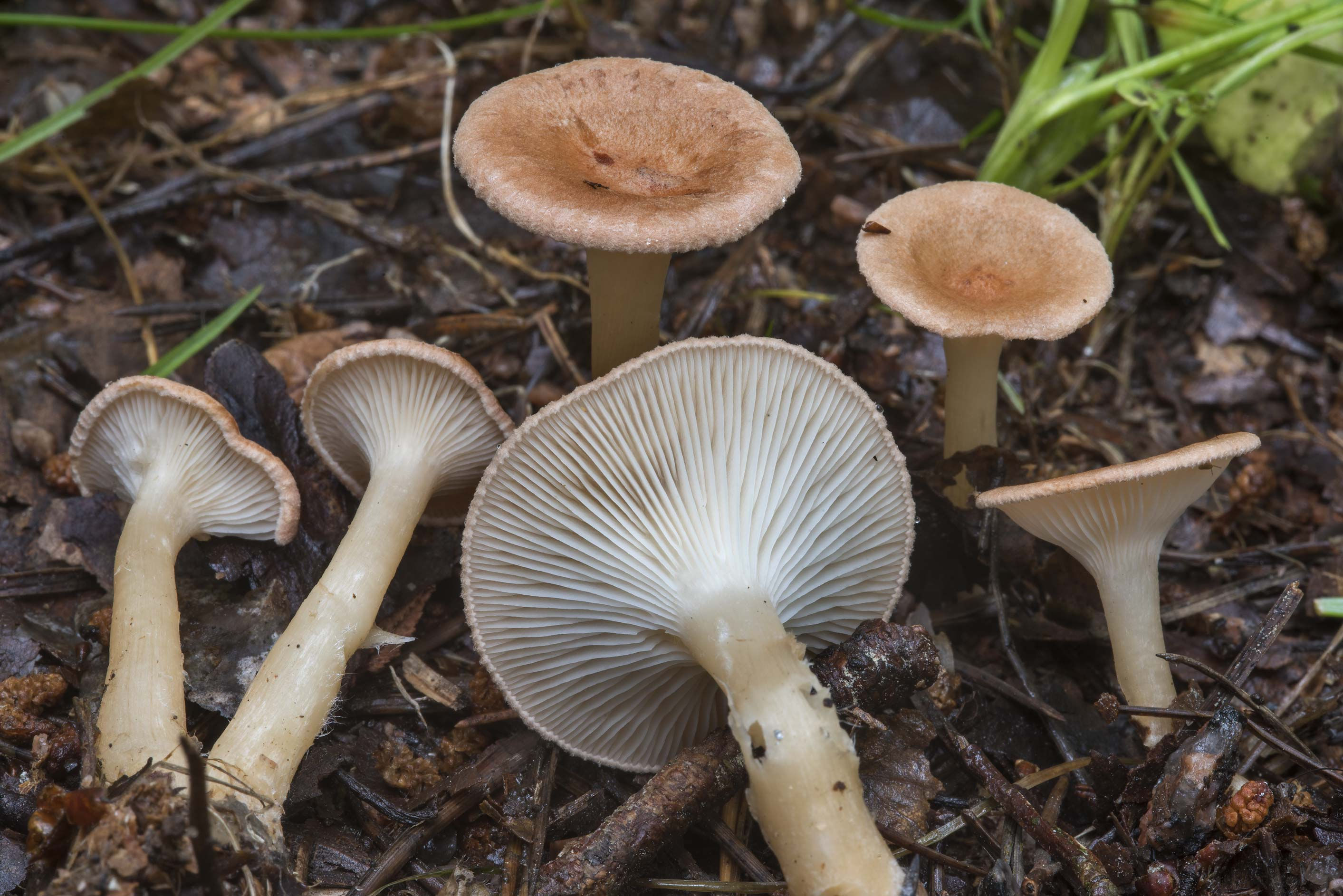 Young common funnel mushrooms (Clitocybe gibba...miles north from St.Petersburg. Russia