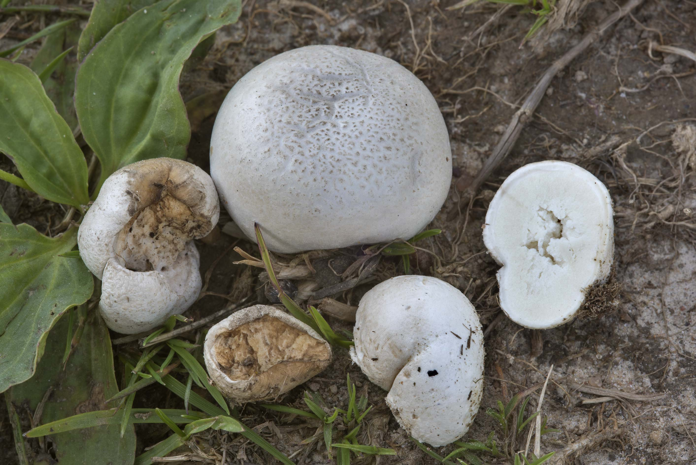 Small puffball mushrooms Lycoperdon pratense on a...north from St.Petersburg. Russia
