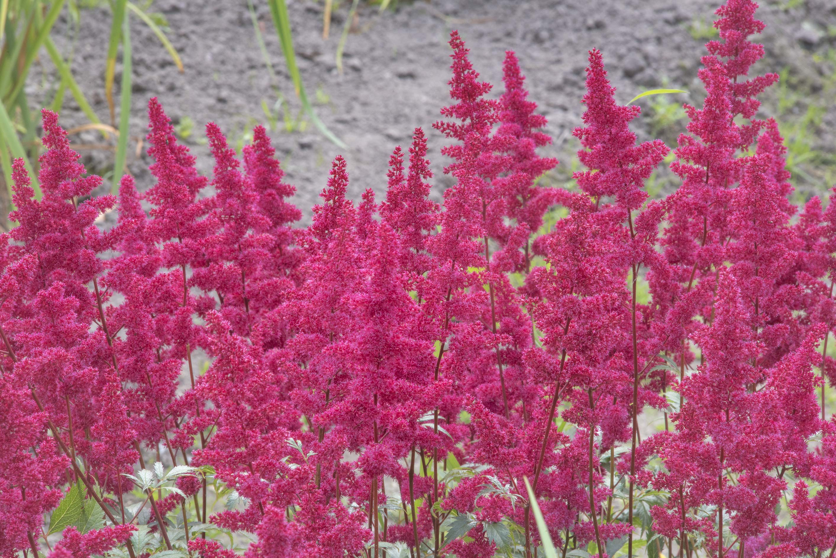 Red flowers of false spirea (Astilbe japonica) in...Institute. St.Petersburg, Russia