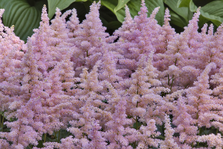 Photo 2101 09 Pink Flowers Of False Spirea Astilbe Japonica