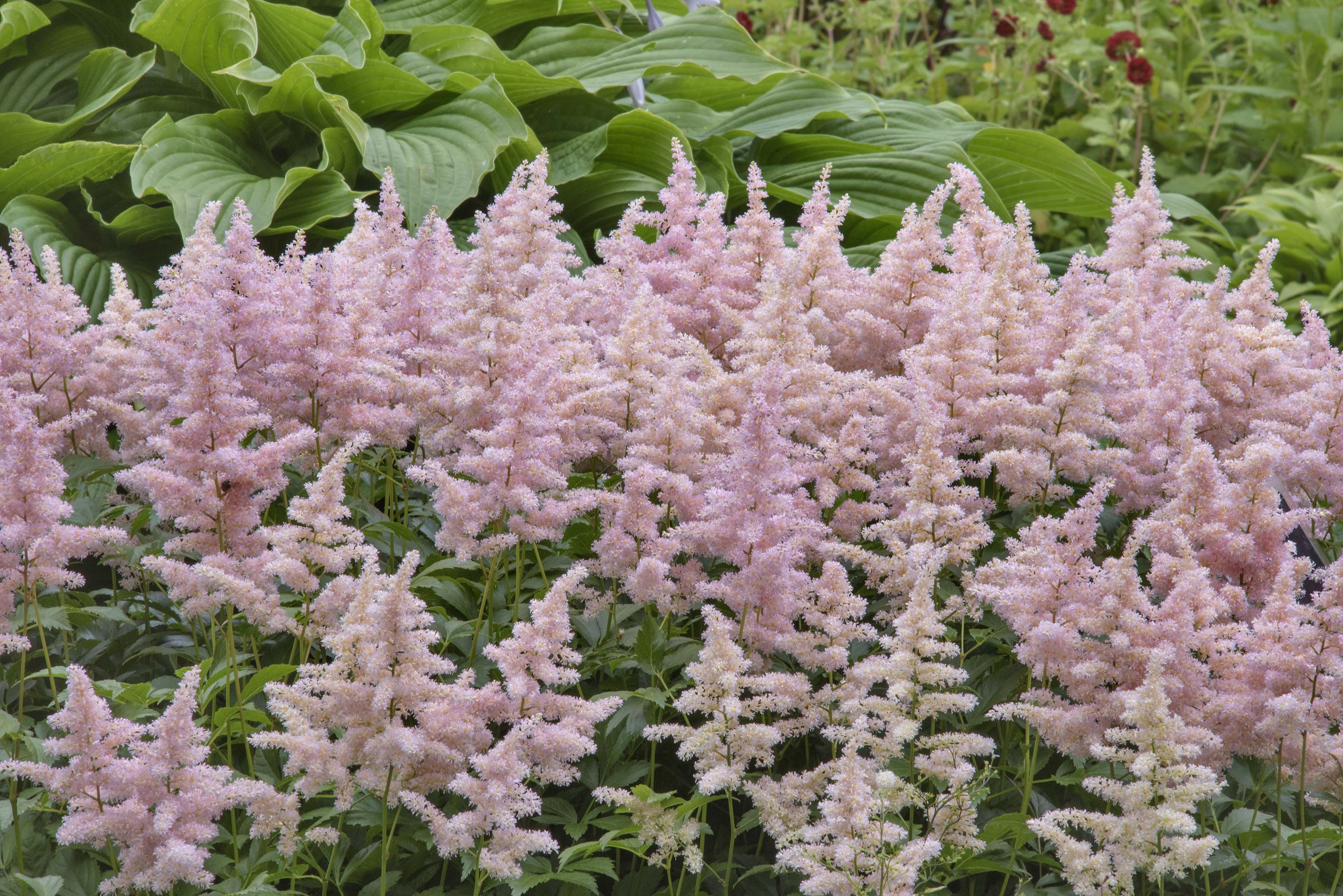 Pink flowers of false spirea (Astilbe japonica...Institute. St.Petersburg, Russia