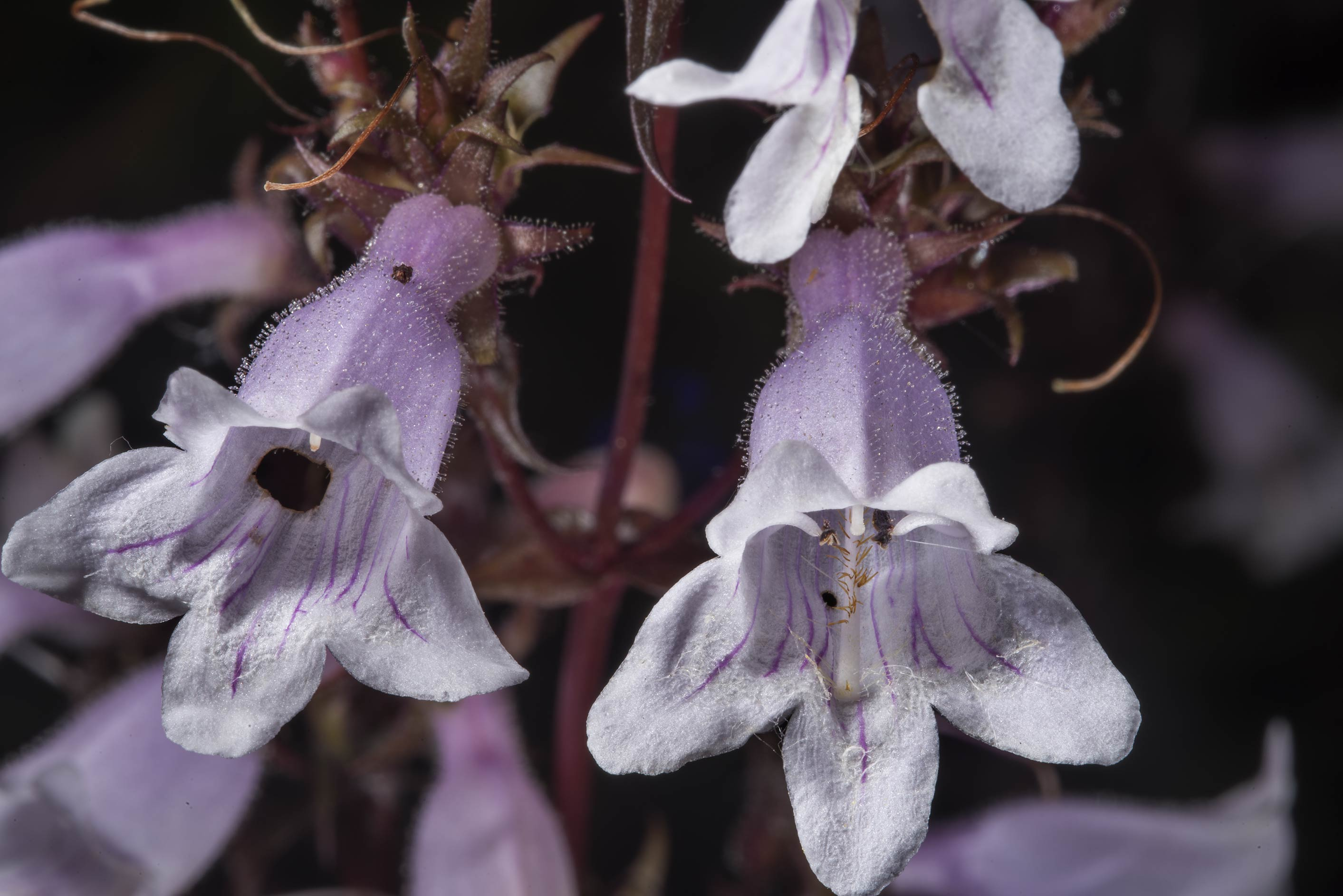 Beardtongue (Penstemon) flowers in Botanic...Institute. St.Petersburg, Russia