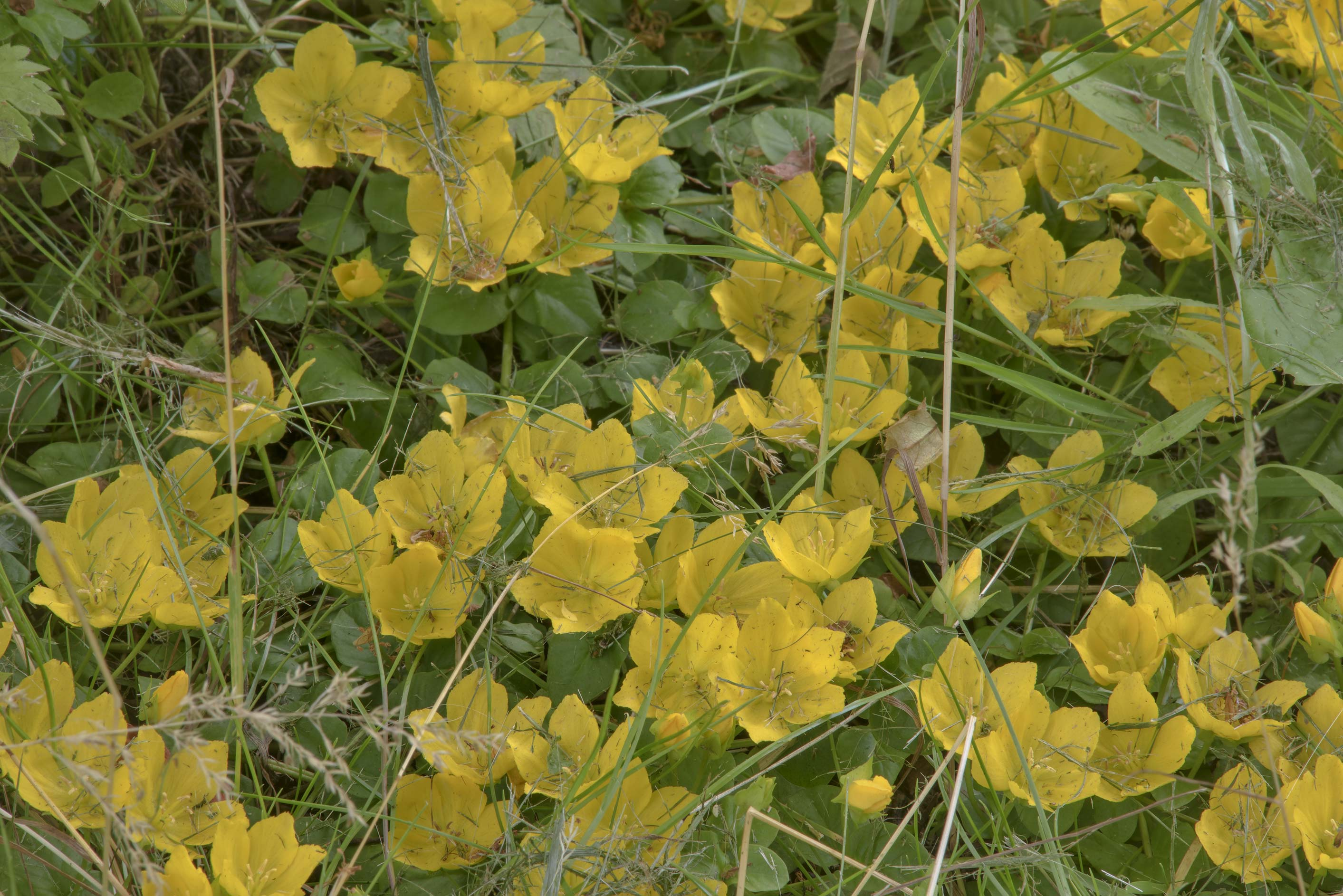 Moneywort (Creeping Jenny, Lysimachia nummularia...Institute. St.Petersburg, Russia