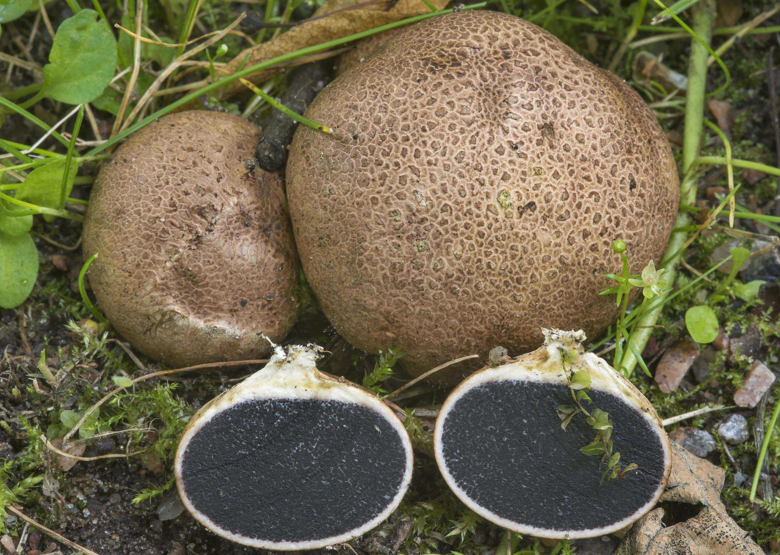 Leopard earthball fungus (Scleroderma areolatum...Institute. St.Petersburg, Russia